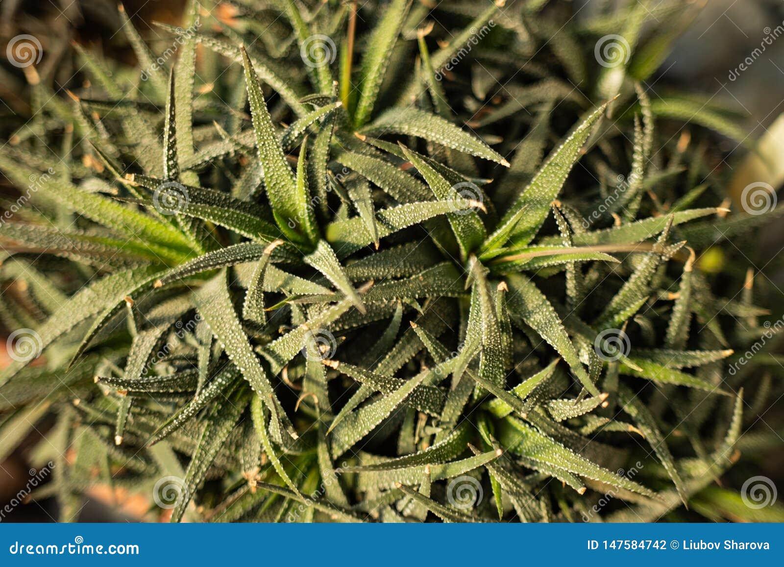 Haworthia Ja mięsistego, ale elongated i wskazuje końcówki liście z serrated kolcami na kołowaciejącym bielu lub krawędziach