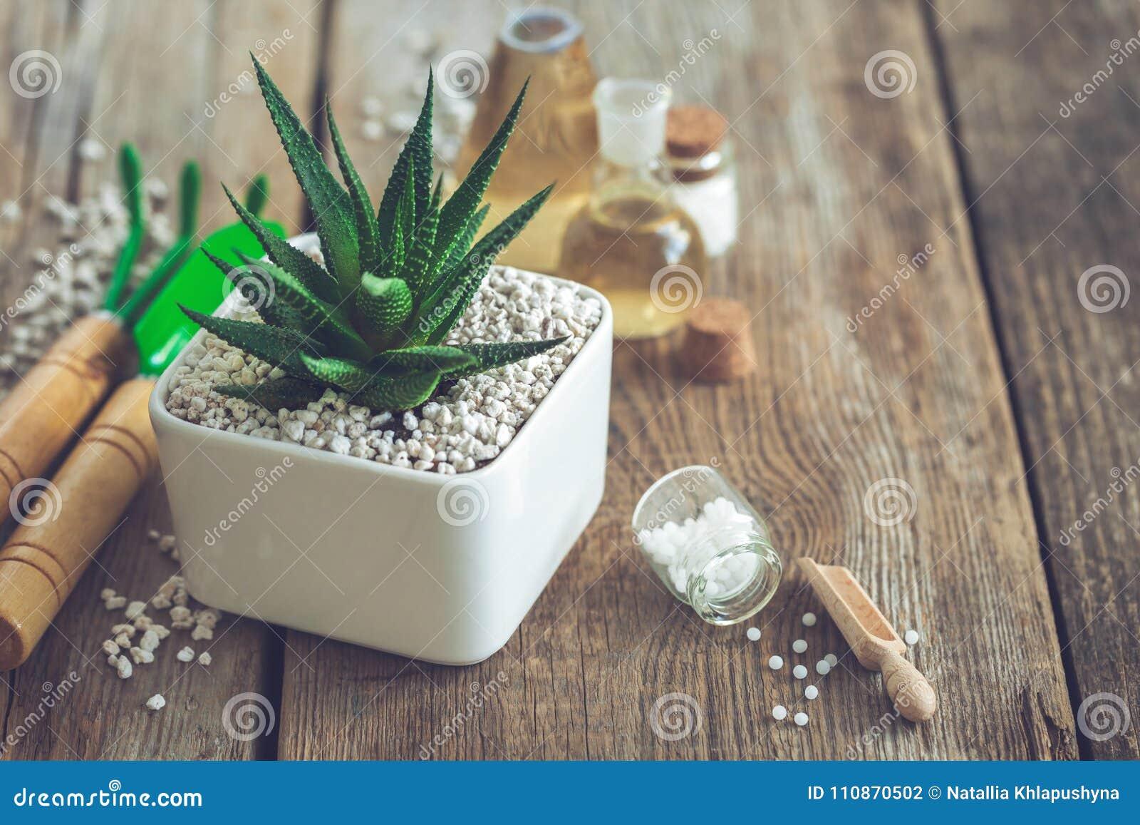 Haworthia succulent στο δοχείο λουλουδιών, τα μίνι εργαλεία κήπων και τις ομοιοπαθητικές θεραπείες για τις εγκαταστάσεις