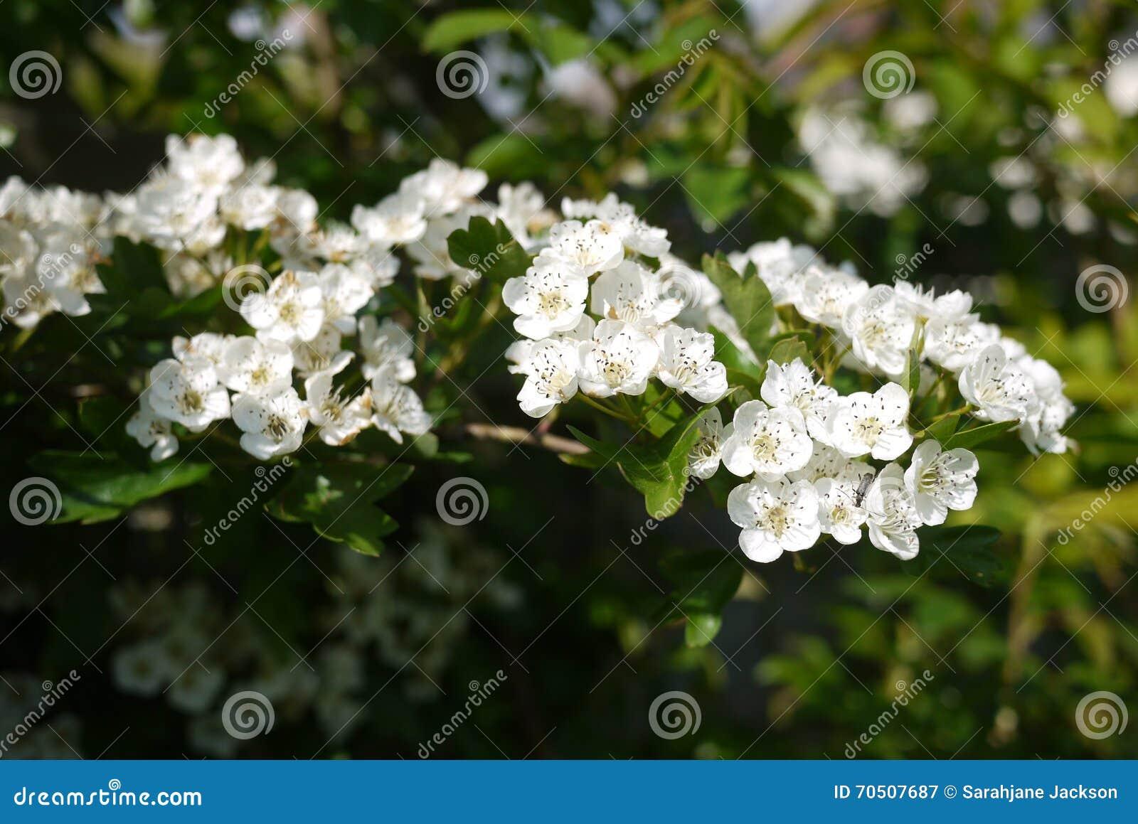 Hawthorn blossom spring flowers english hedgerow stock image image download hawthorn blossom spring flowers english hedgerow stock image image of hawthorn hedgerow mightylinksfo