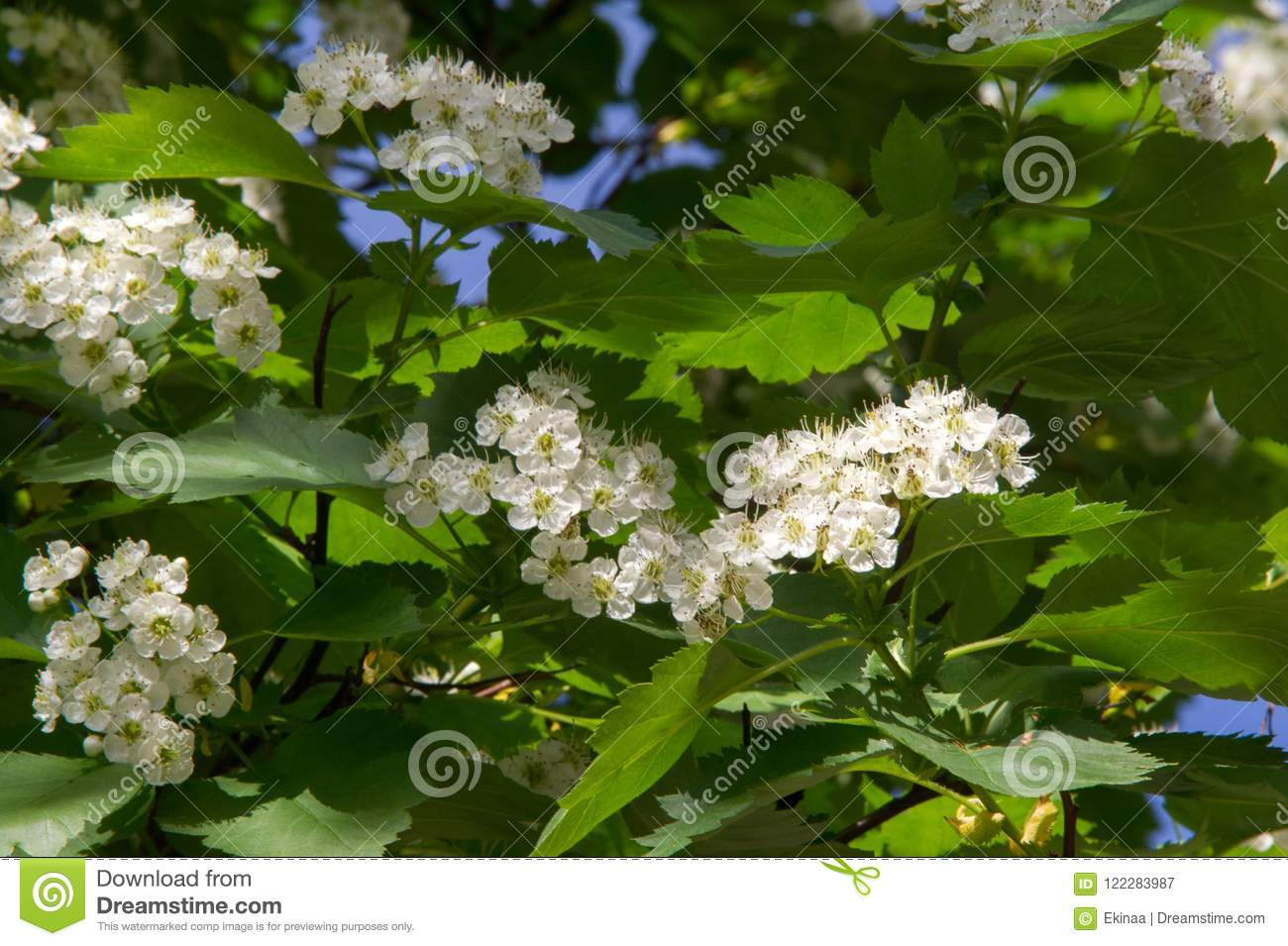 Hawthorn Flowers A Thorny Shrub Or Tree Of The Rose Family Wit
