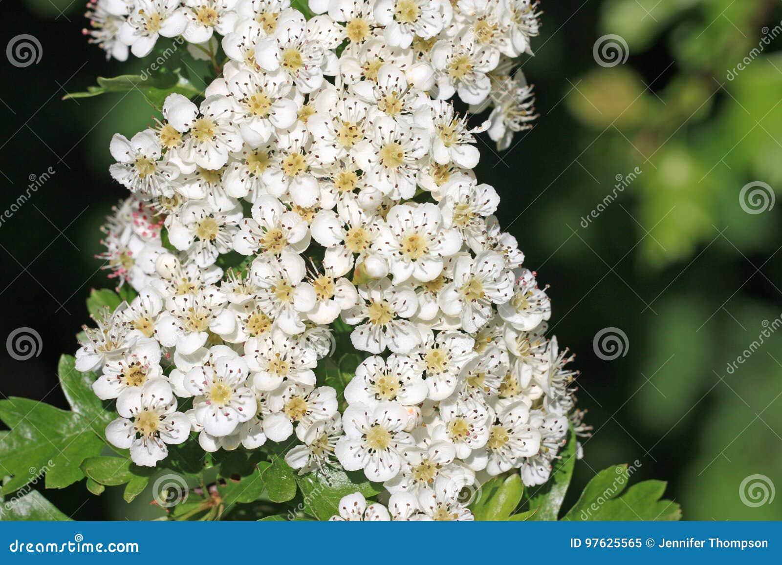 Hawthorn Flowers Stock Image Image Of White Monogyna 97625565