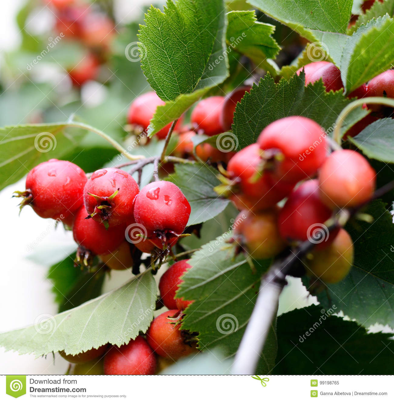 Hawthorn Red Berries With Briht Green Leaves On A Tree