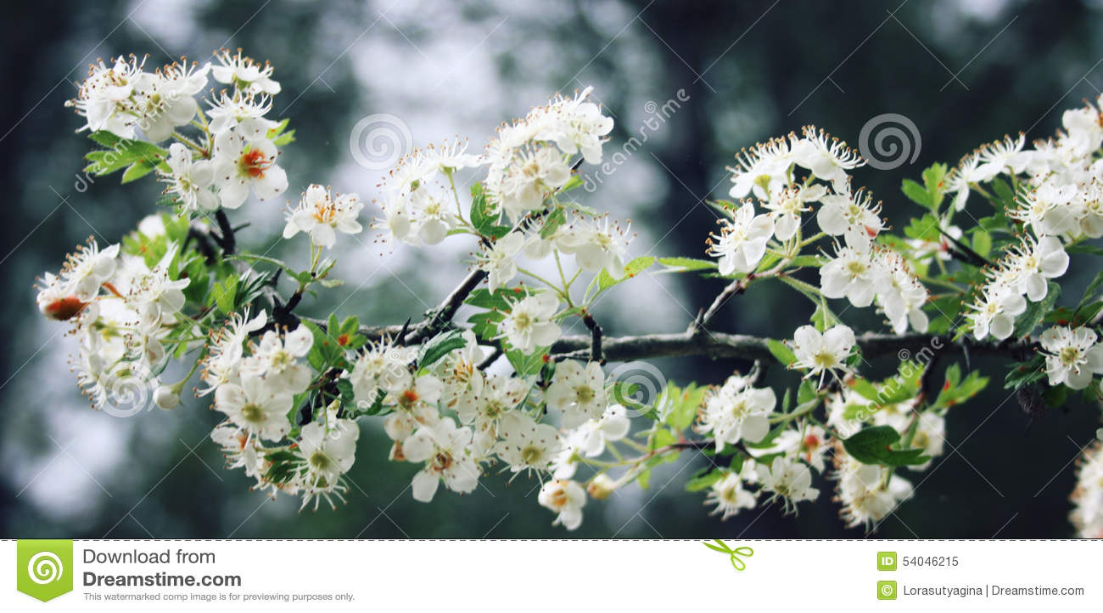 Hawthorn tree shrub. White flowers of Hawthorn. Aged photo.