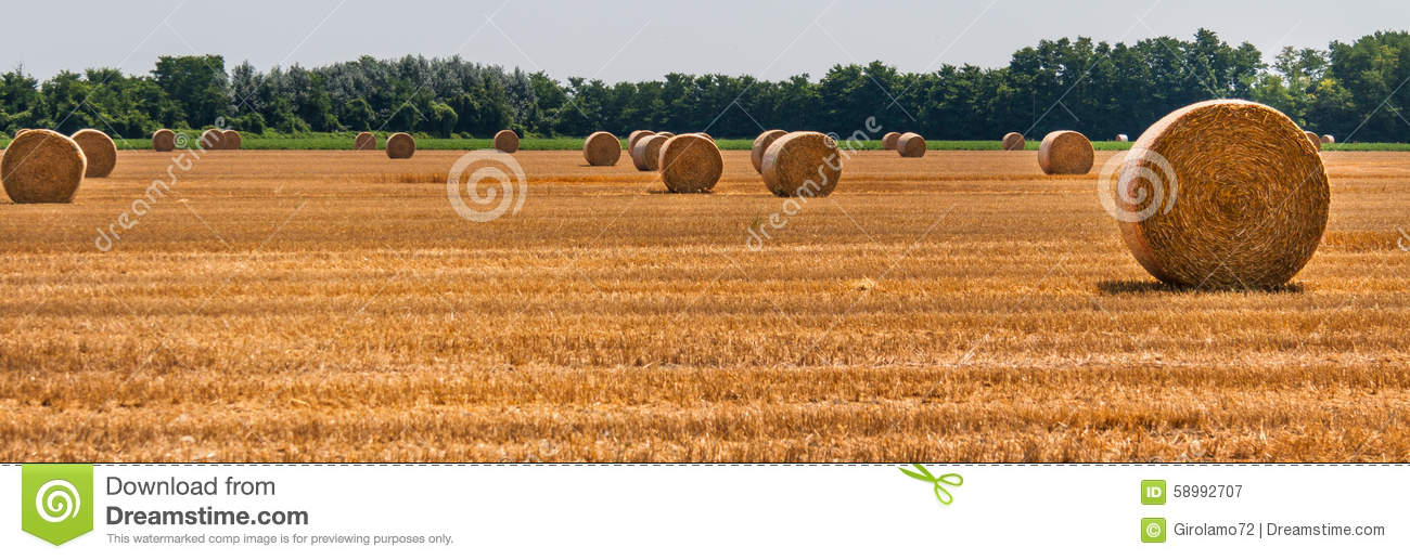 Hay bales in the fields