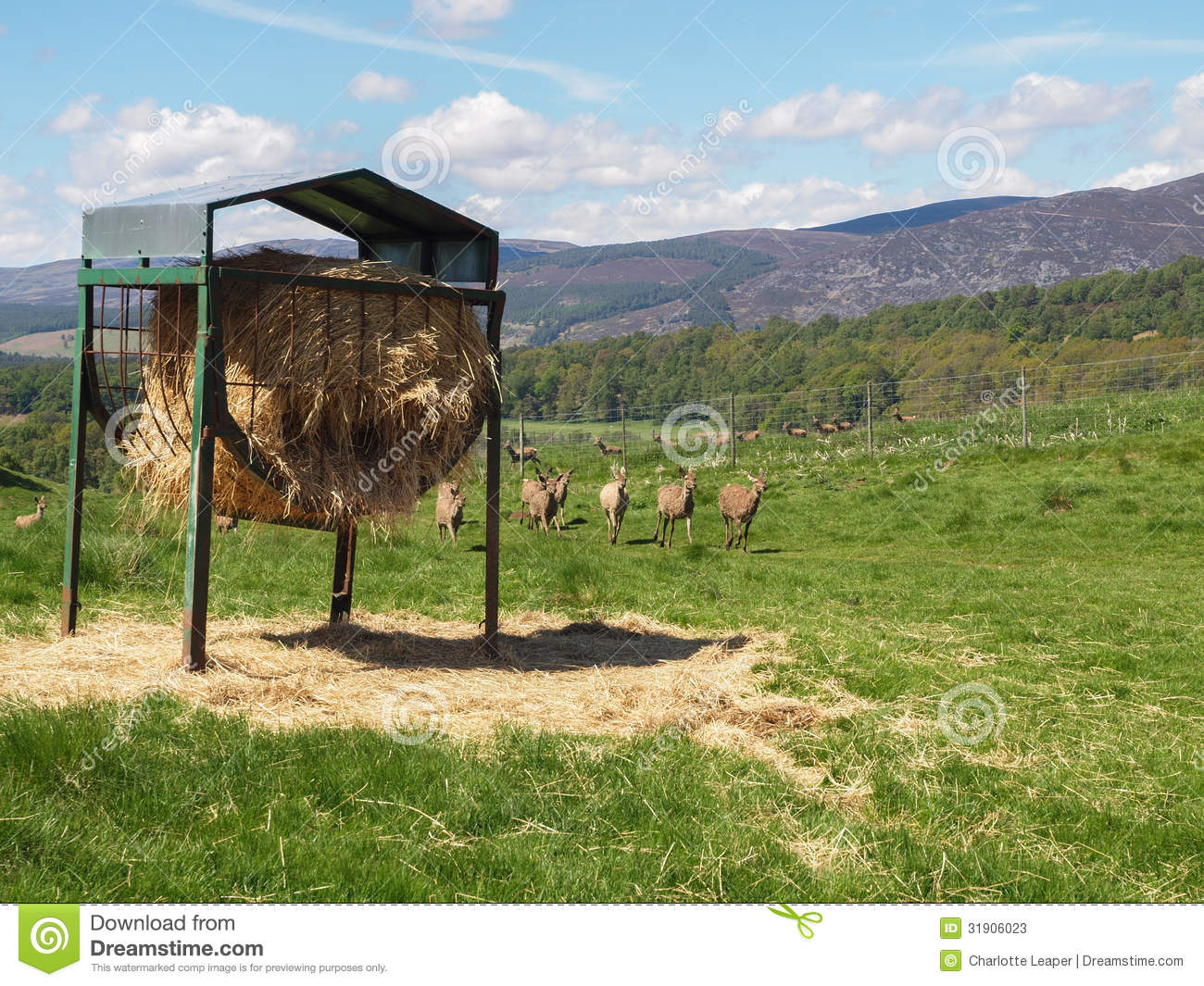Hay feeder on Farmland and a herd of red deer on pasture in the ...