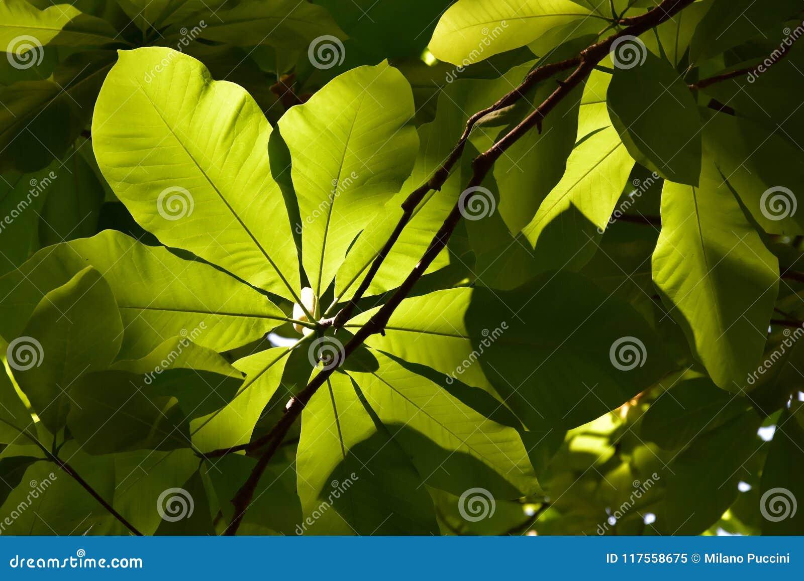 Haya verde de la hoja