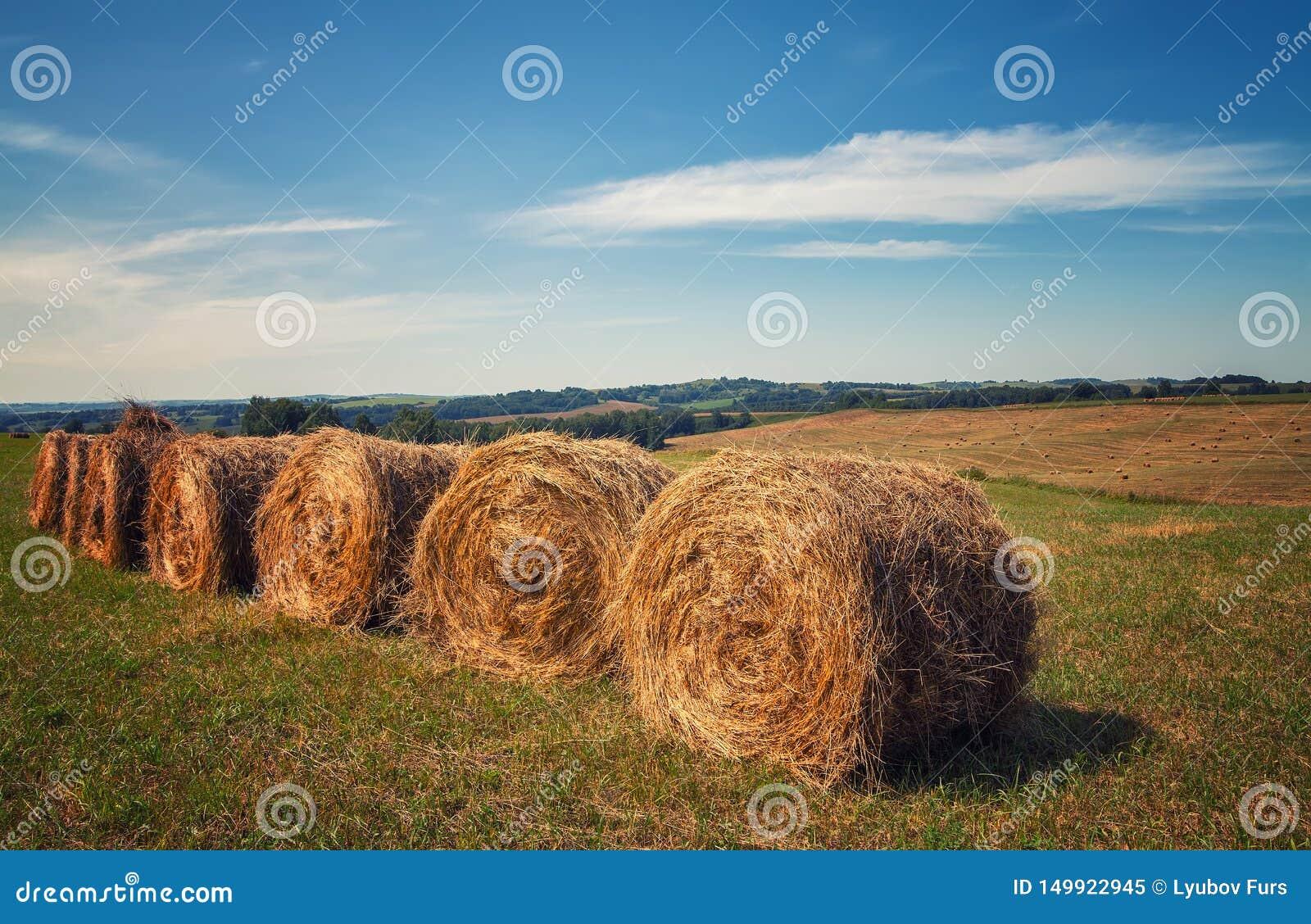 Hayfield Foin moissonnant le paysage ensoleillé d automne rouleaux de foin sec frais dans les domaines le tracteur rassemble l he