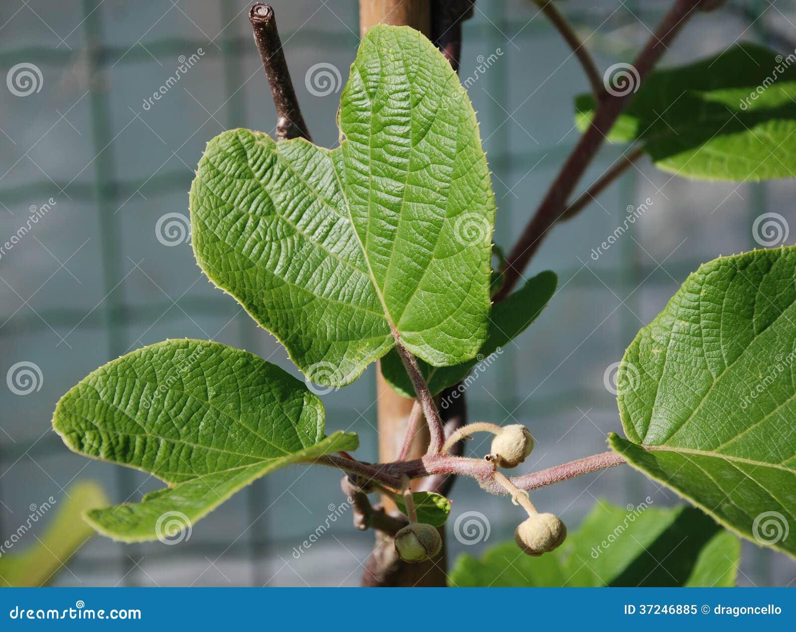 Hayward kiwi vine maschio in primavera immagine stock for Kiwi pianta