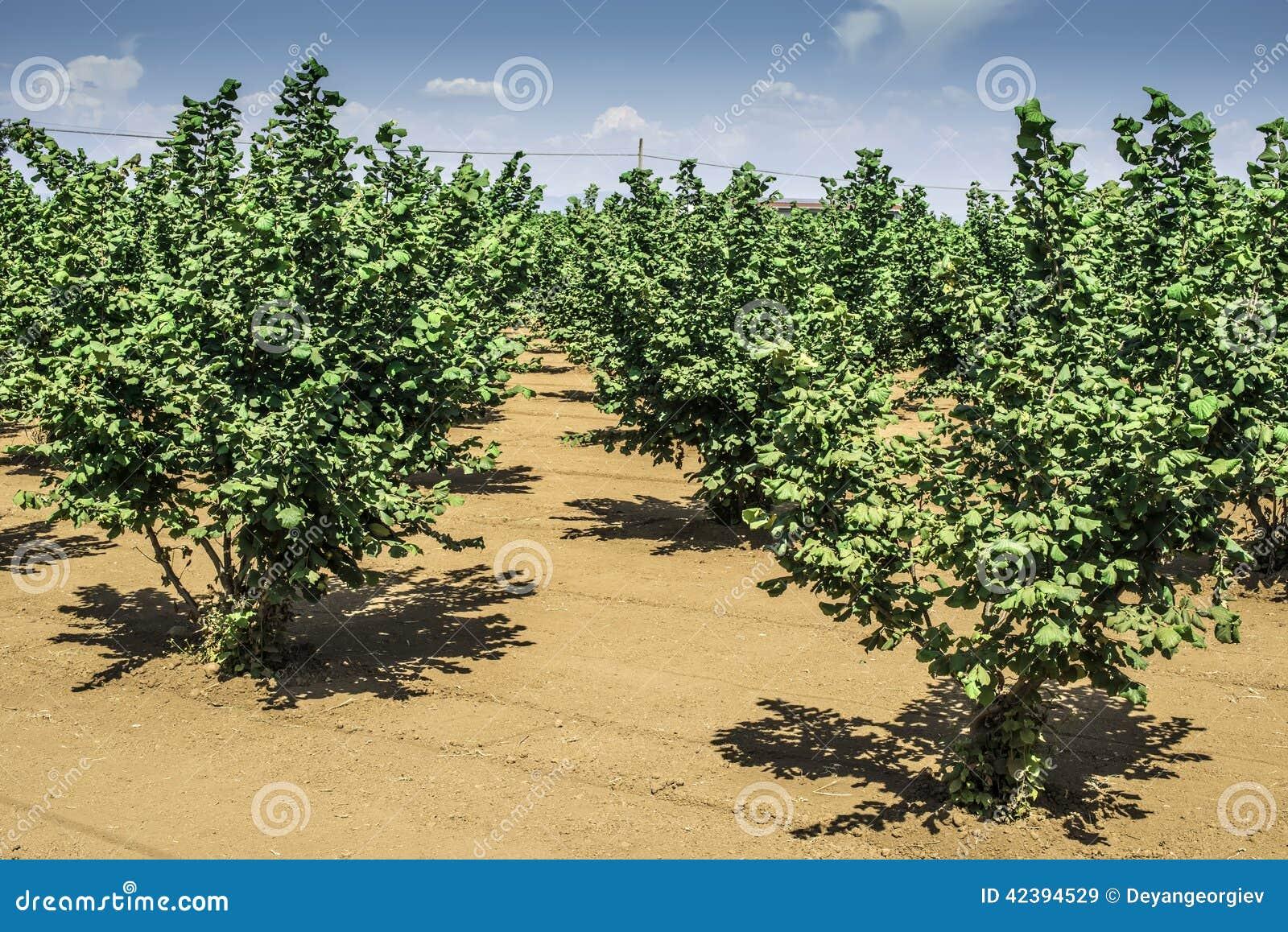 Hazel tree plantation