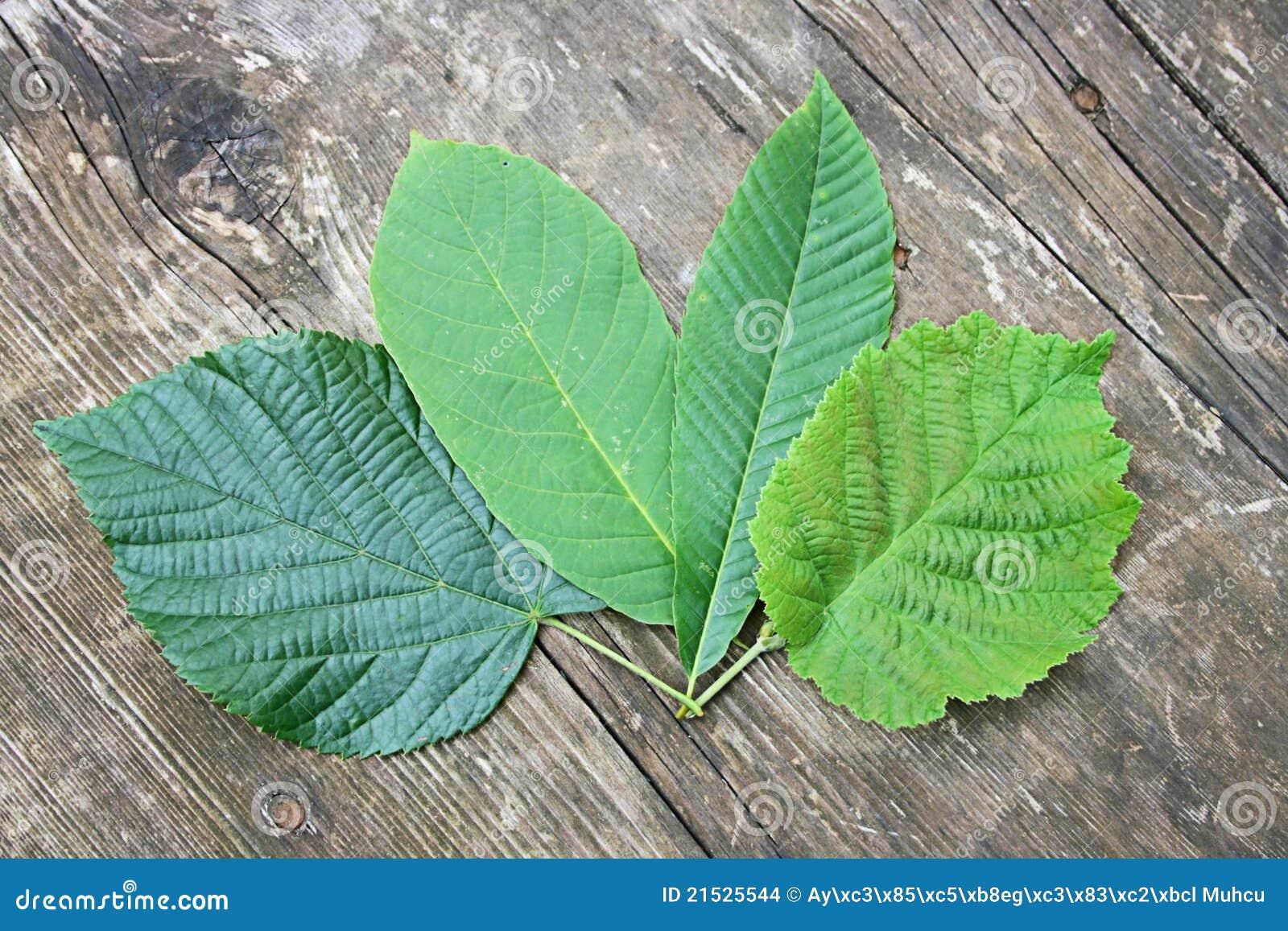 Hazelnut,Chestnut,Walnut And Linden Tree Leaves Stock ...