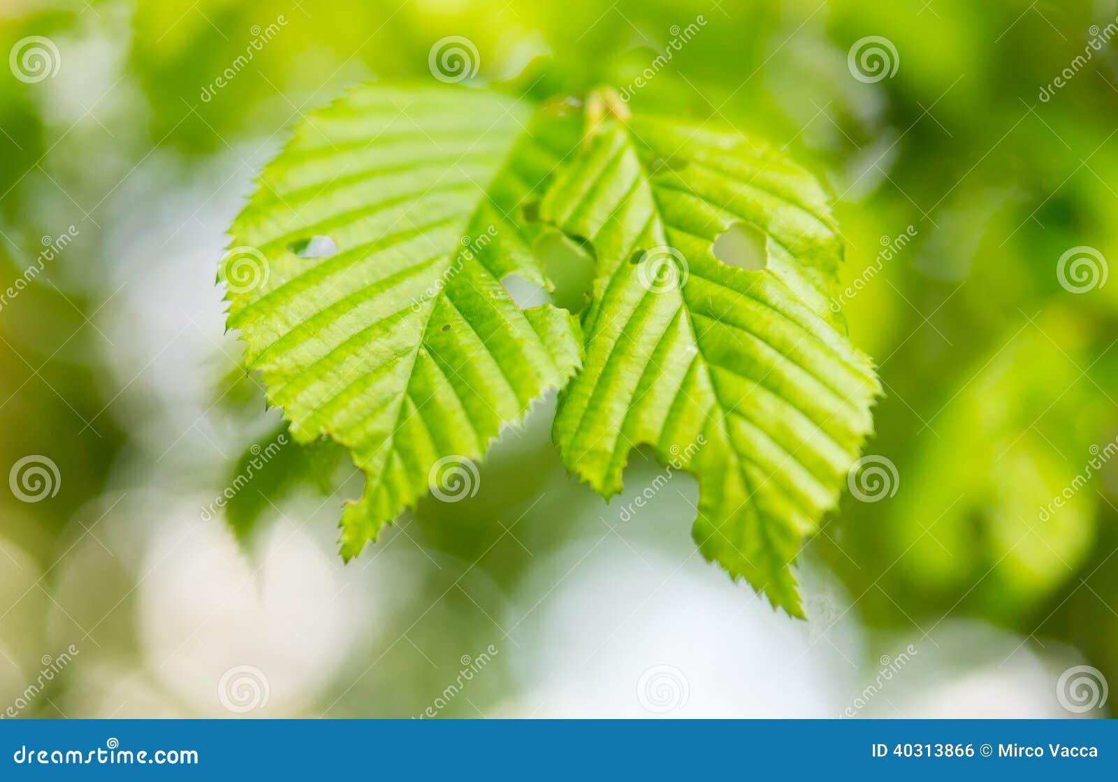 Hazelnut Tree Leaf Stock Photo - Image: 40313866