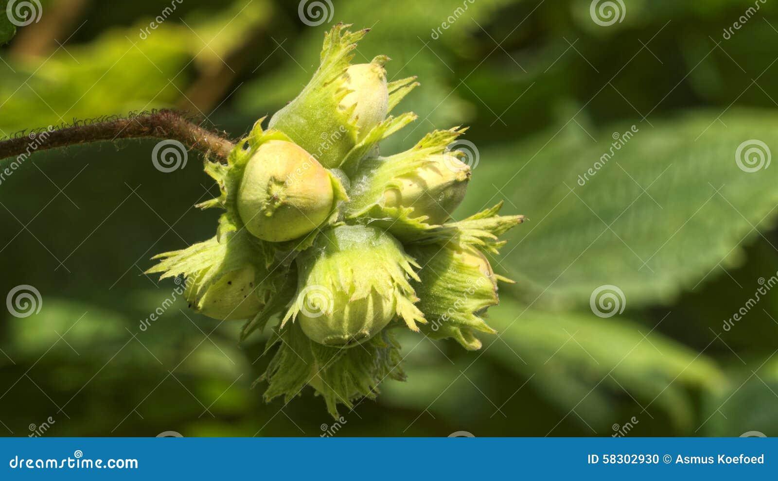 Hazelnuts on a hazel tree