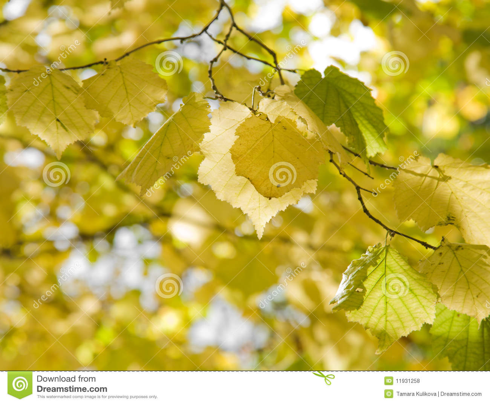 Hazels (Corylus); autumn foliage