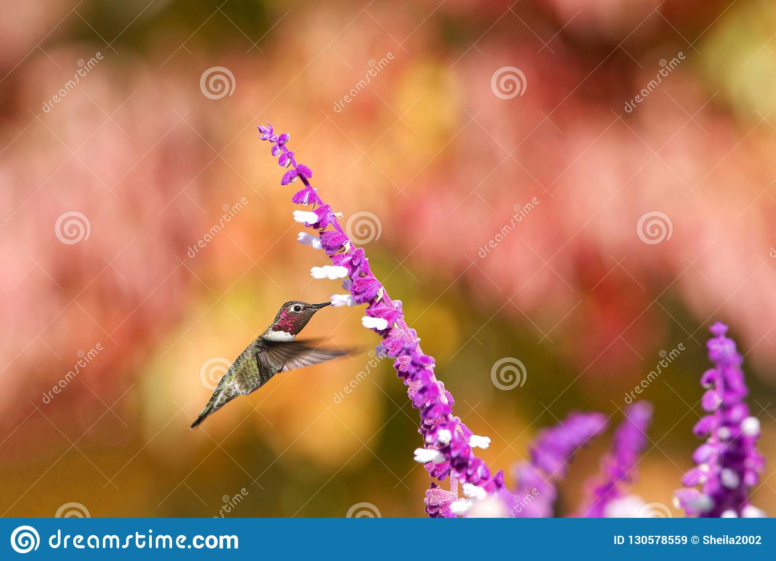 Anna`s hummingbird drinking from purple Mexican Sage