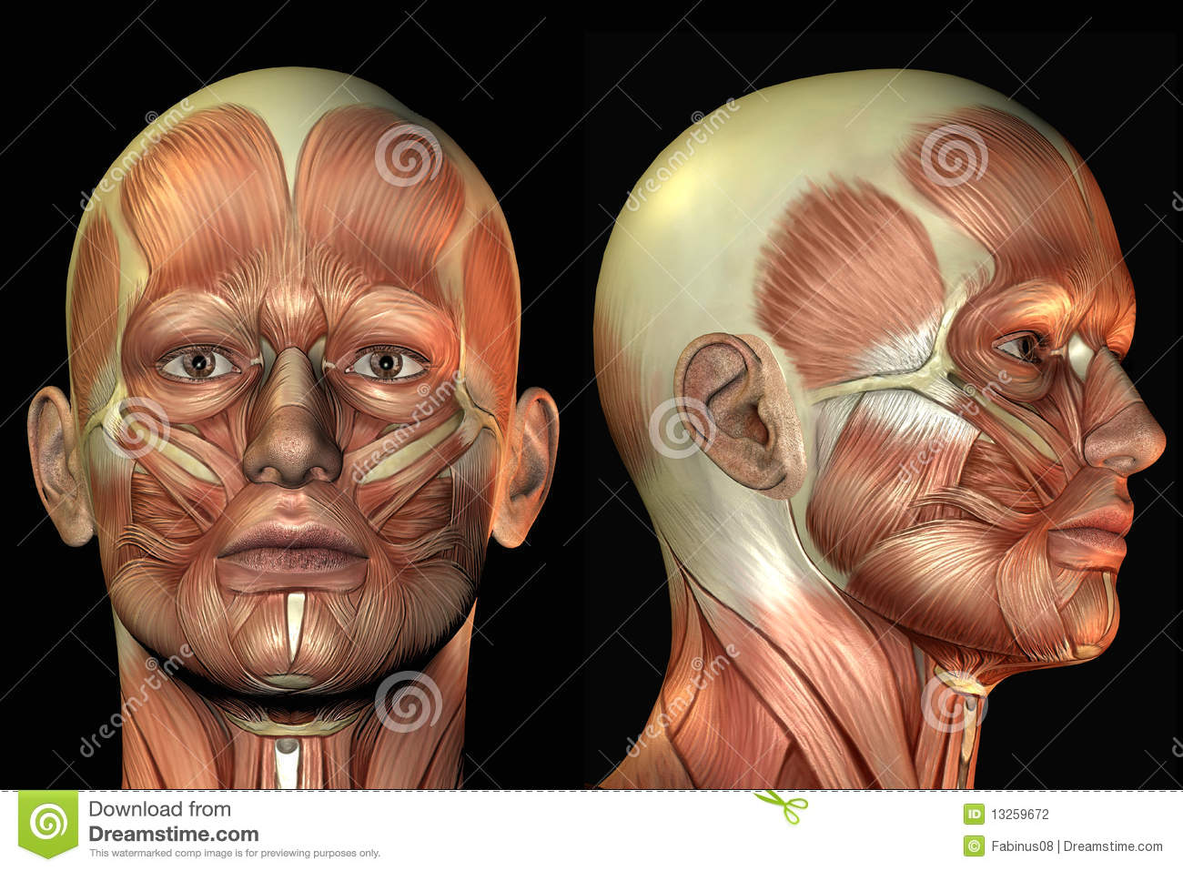 Head Anatomy Stock Illustration  Illustration Of
