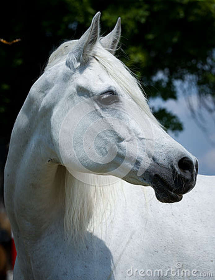 The gallery for --> White Arabian Horse Head