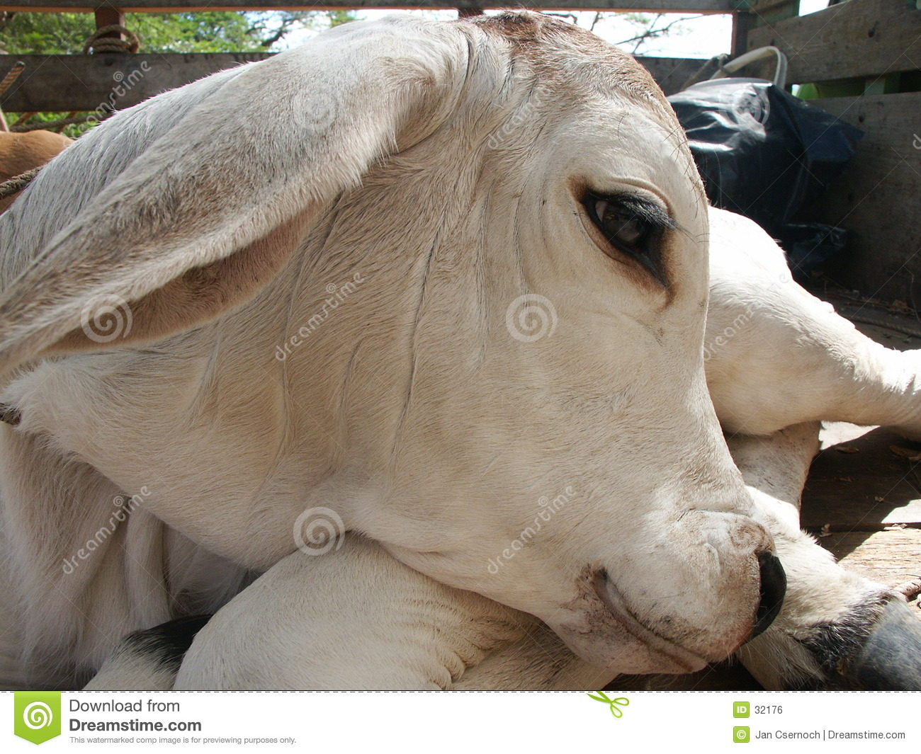Head of baby cow