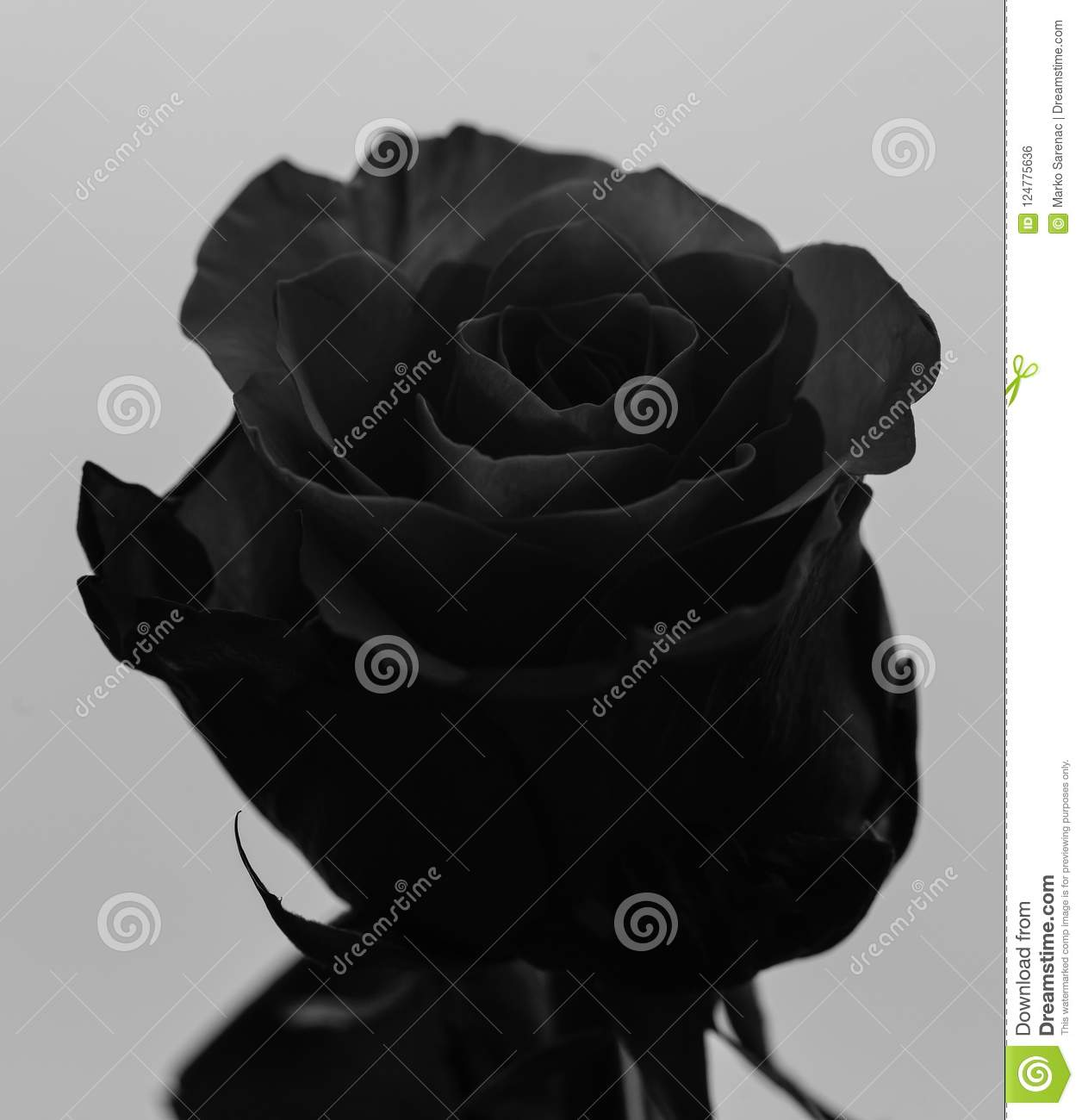 Head of beautiful rose black and white photo 1 stock photo image