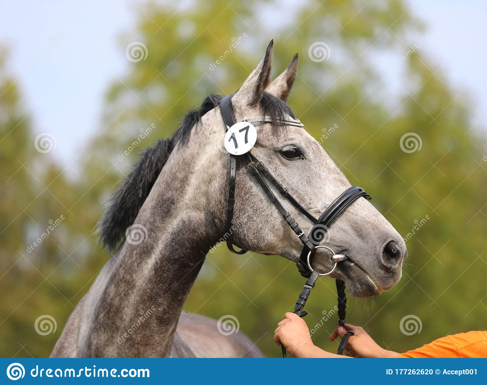 Head Of A Beautiful Thoroughbred Mare Stock Photo Image Of Barn Horse 177262620
