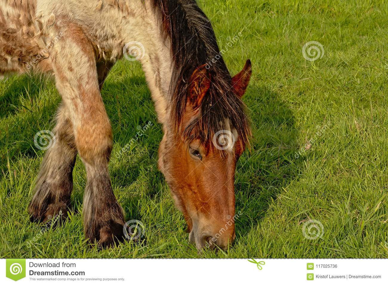 Head Of A Belgian Draft Horse Grazing In A Meadow Stock Photo Image Of Flaxen Environment 117025736