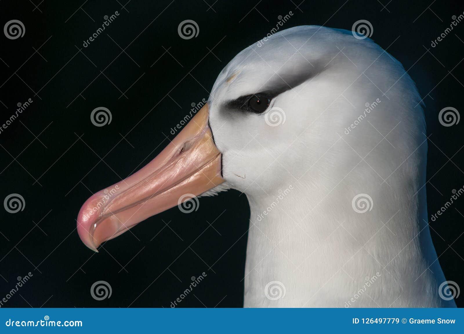 Head of adult Black-browed Albatross, Saunders Island, Falkland Islands