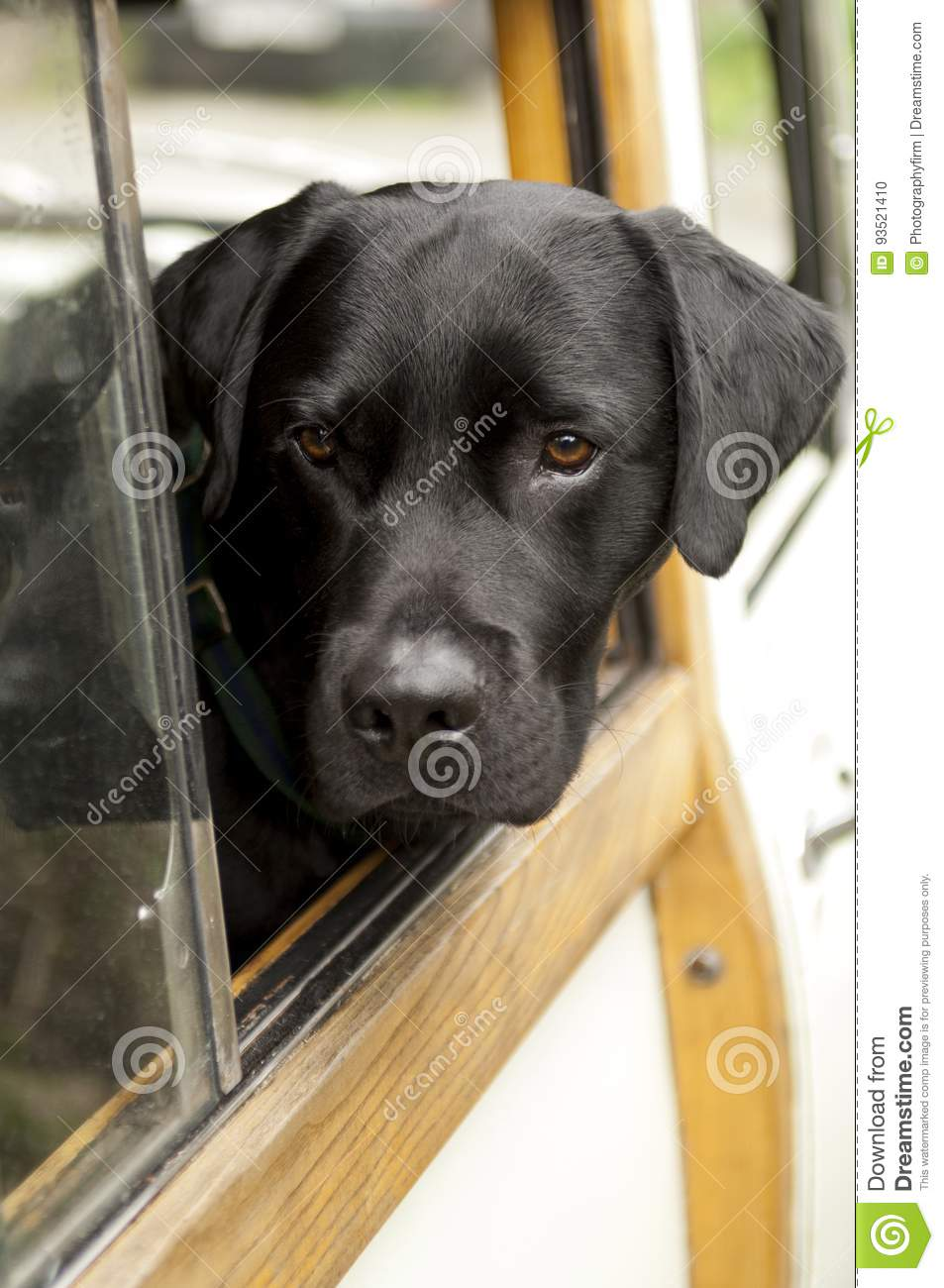 Head of Black Dog Sticking Out of Car Window