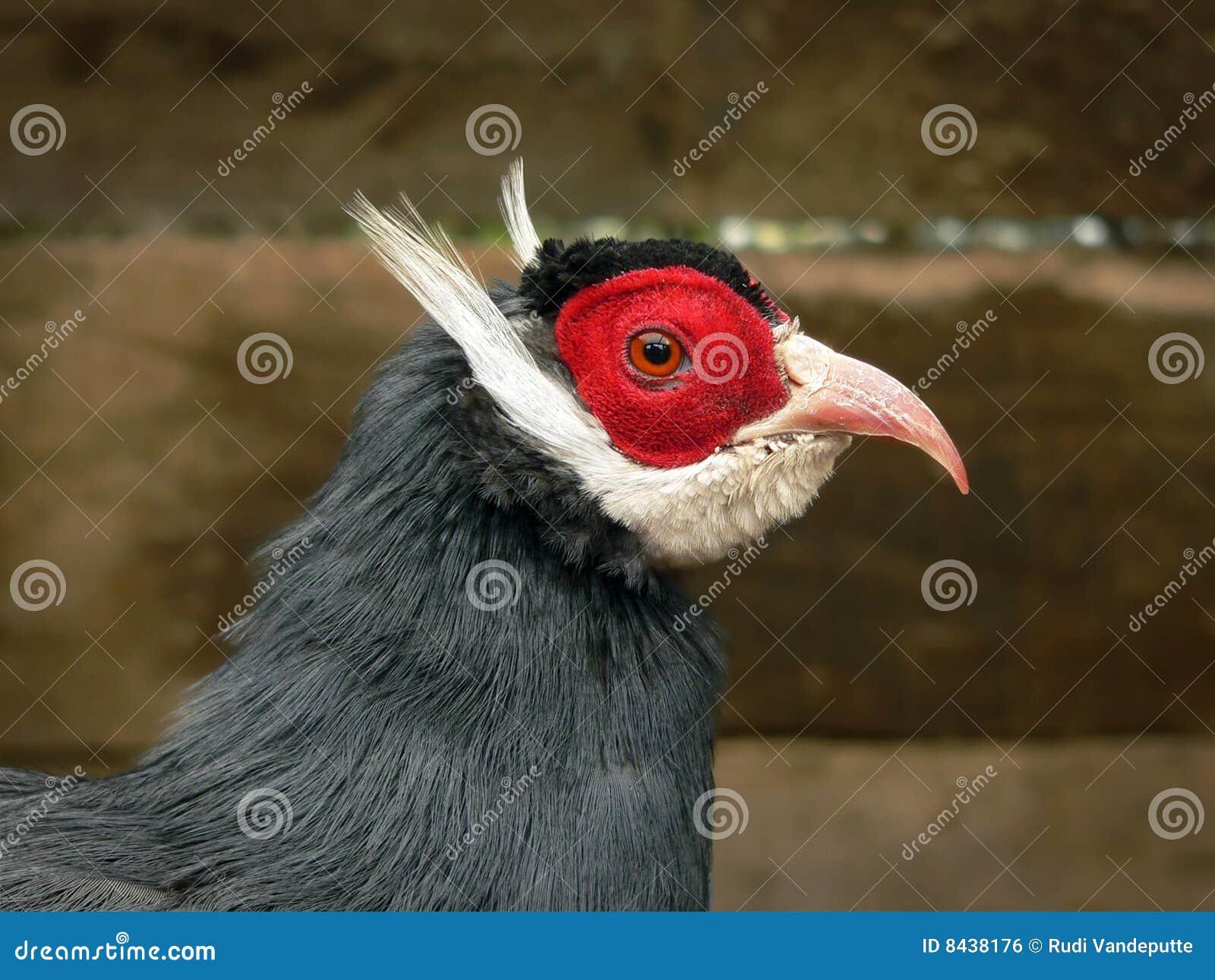 Head of a Blue Eared-Pheasant