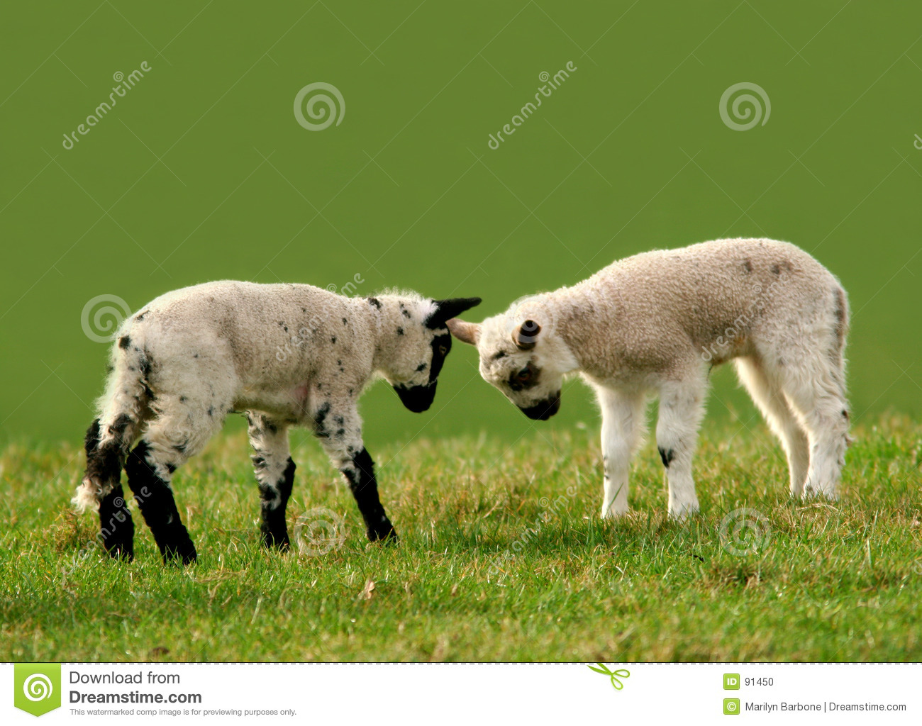 Two Lambs Head Butting Each Other In A Meadow