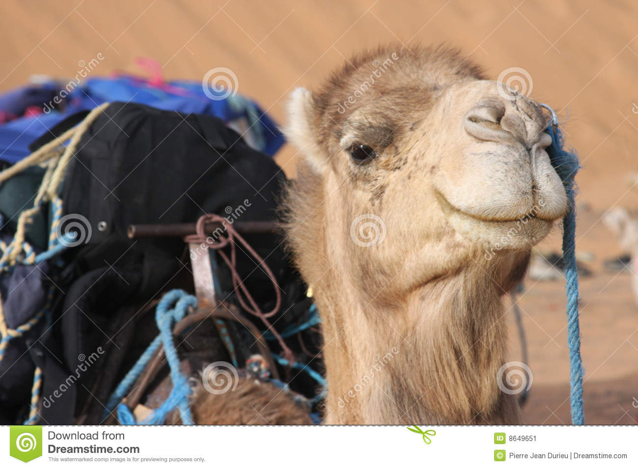 Download Head Of A Camel In The Desert Stock Image - Image of sand, merzouga: 8649651