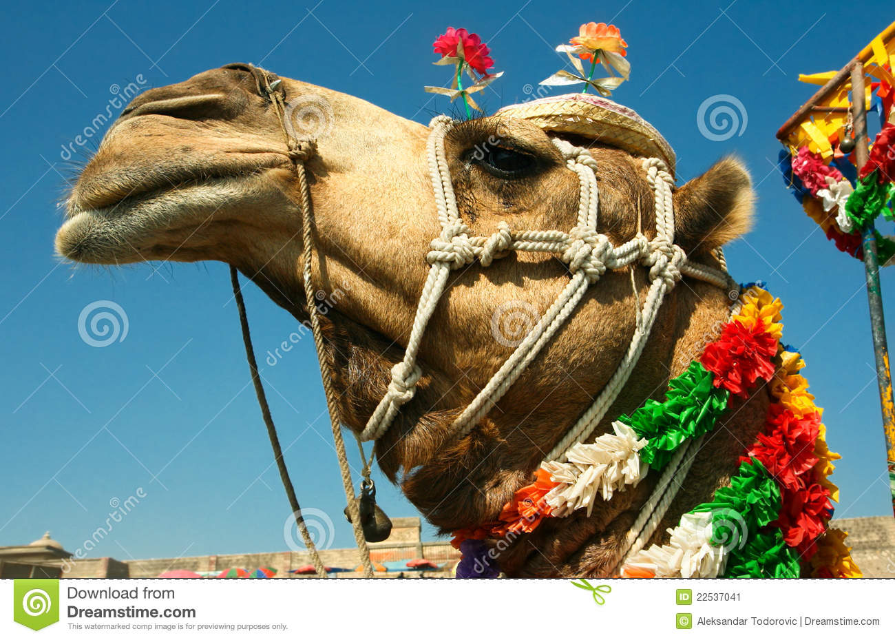 Head of a camel on safari - desert