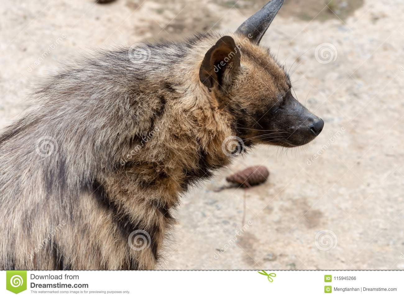 and height Striped average length hyena