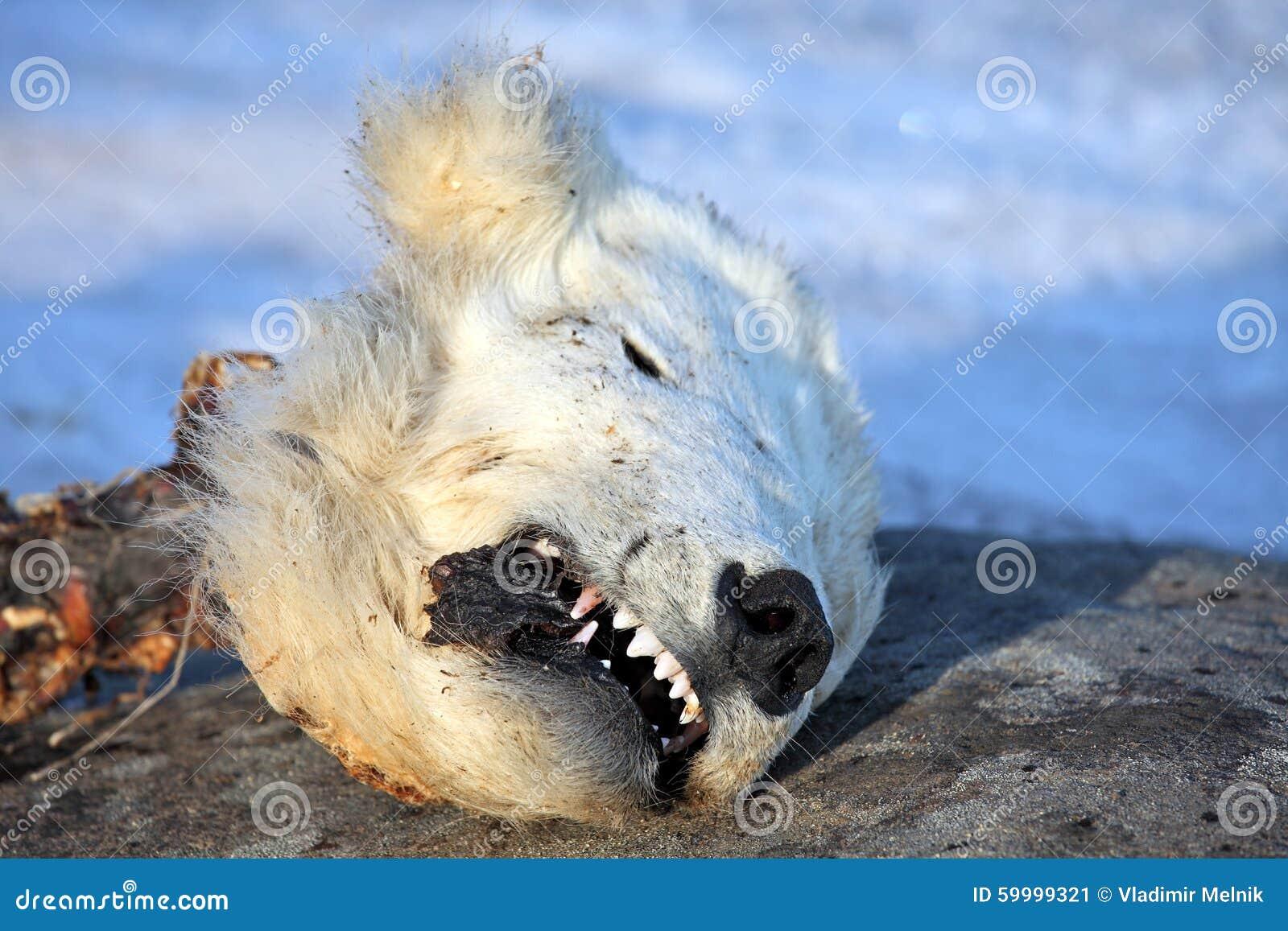 Head Of The Dead Polar Bear Stock Photo Image 59999321