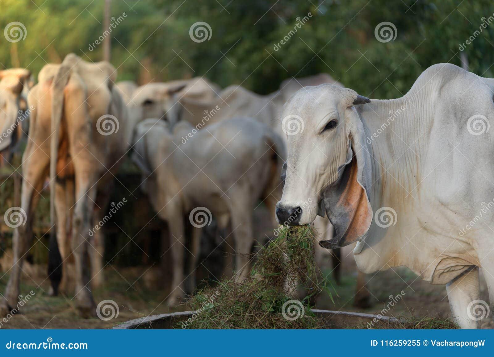 Head delstående av den thailändska kon på suddighetsnötkreaturbakgrund