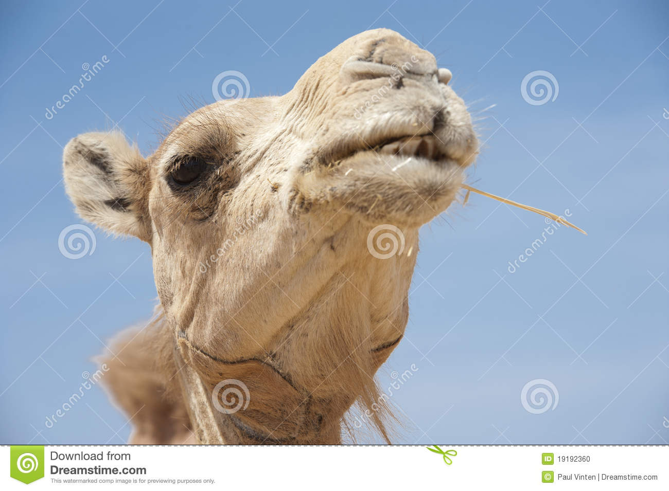 Download Head of a dromedary camel stock photo. Image of detail - 19192360
