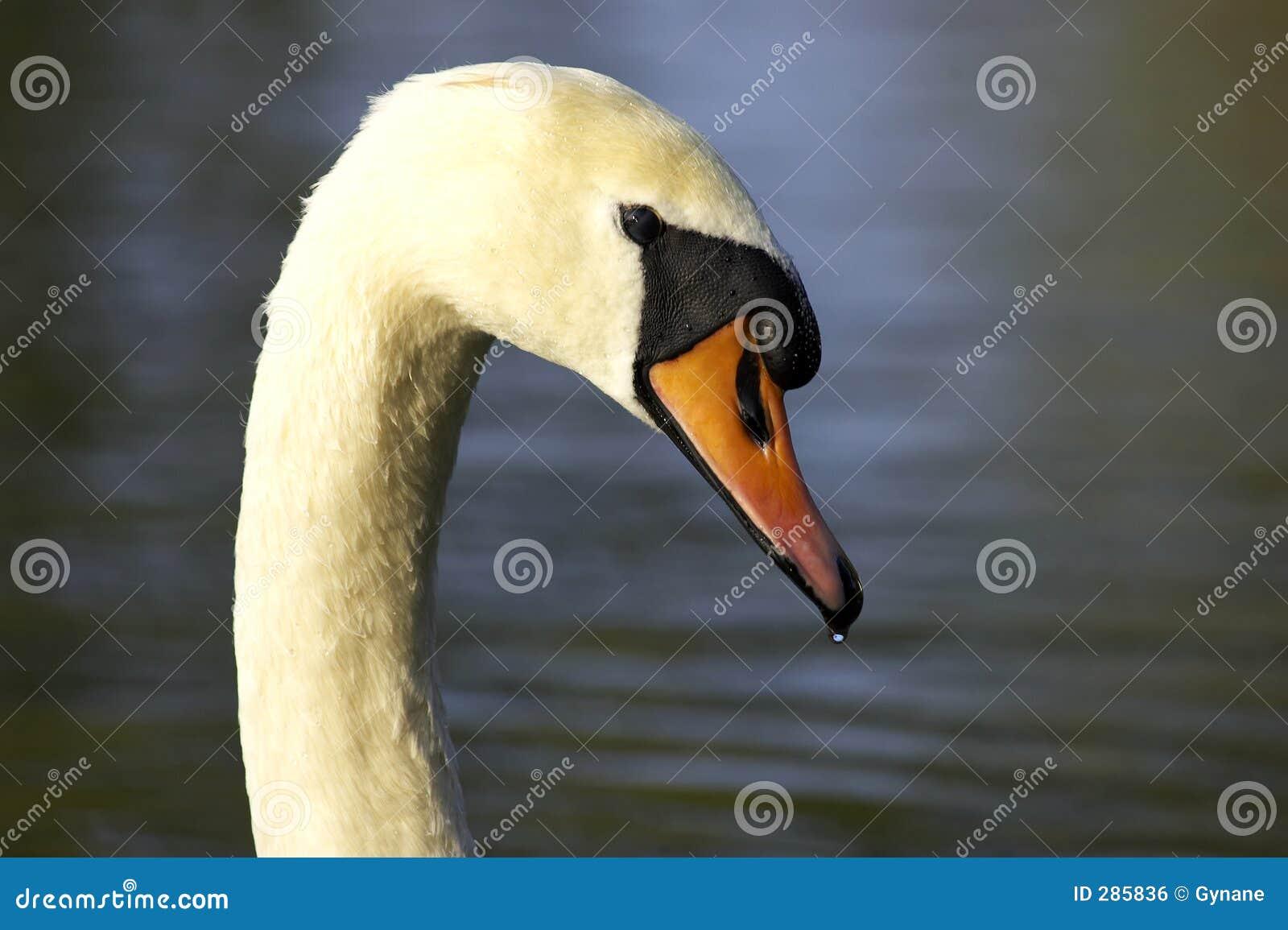 Head enkla swans