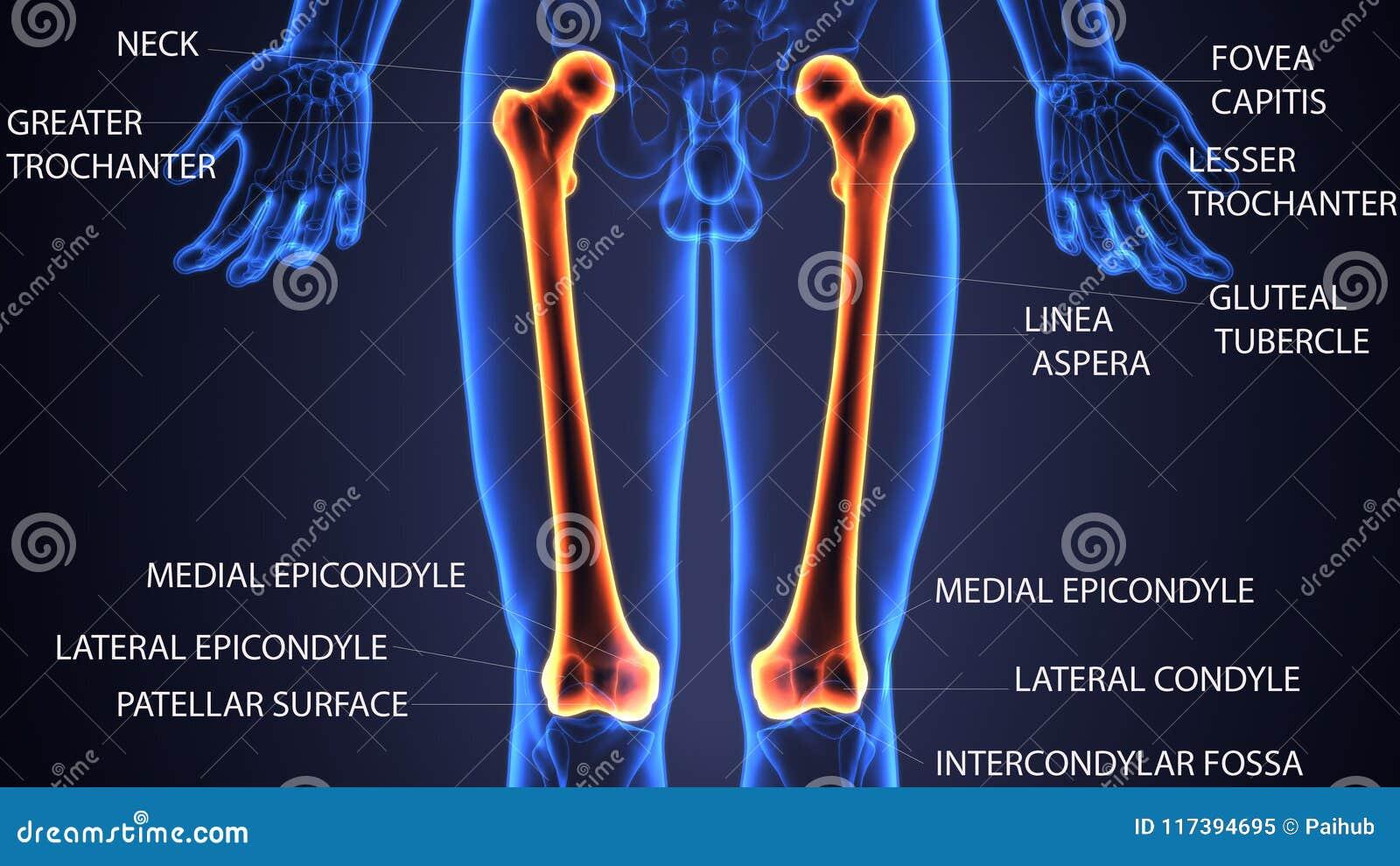 3d Illustration Of Skeleton Femur Bone Anatomy Stock Illustration ...