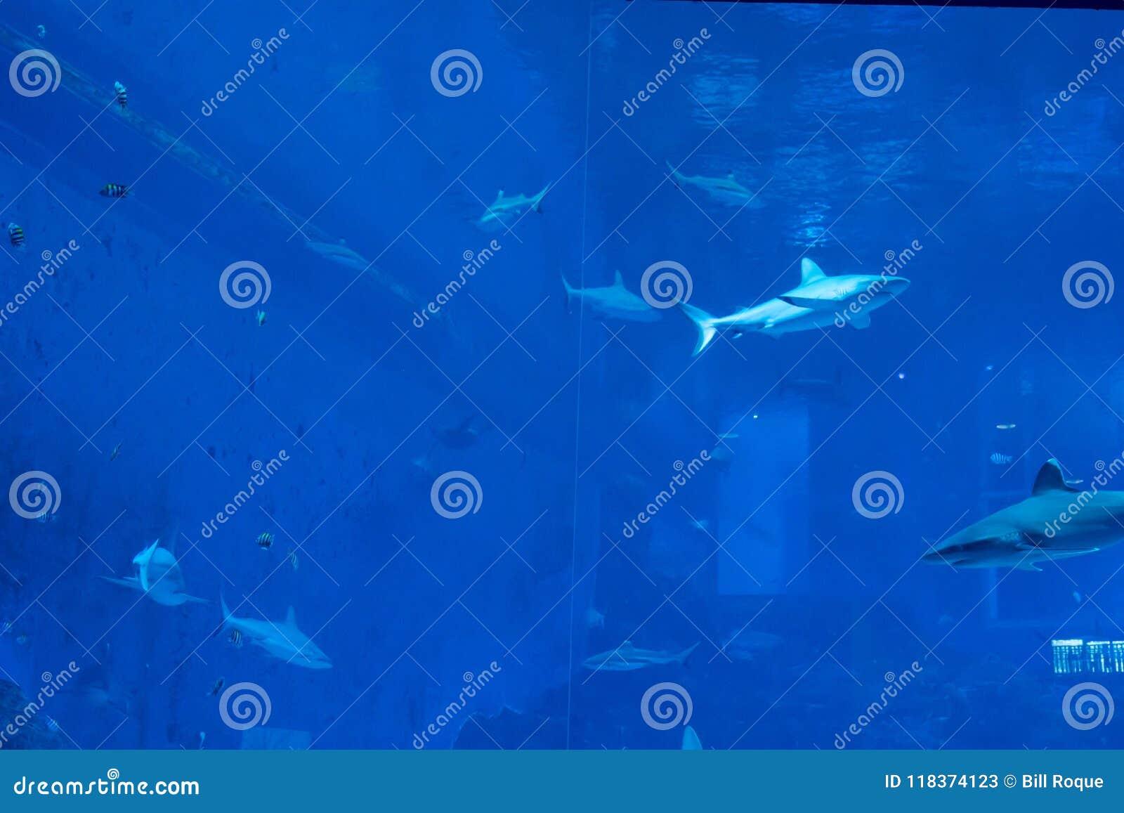 Head Focus Close Up Shot Of Sandbar Silvertip Sharks From The