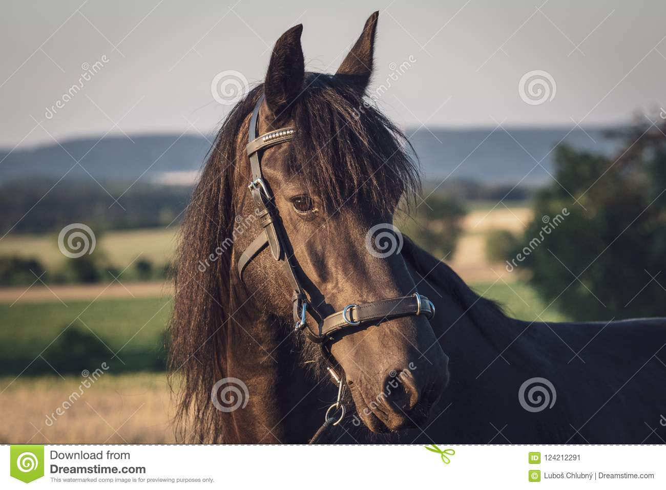 Head of a friesian horse with halter.
