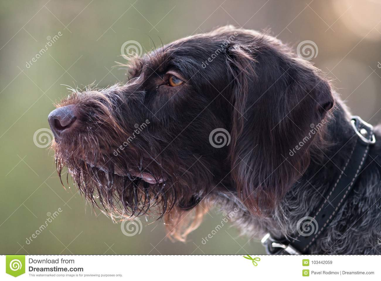 Portrait Of German Wirehaired Pointer Stock Image - Image of german ...