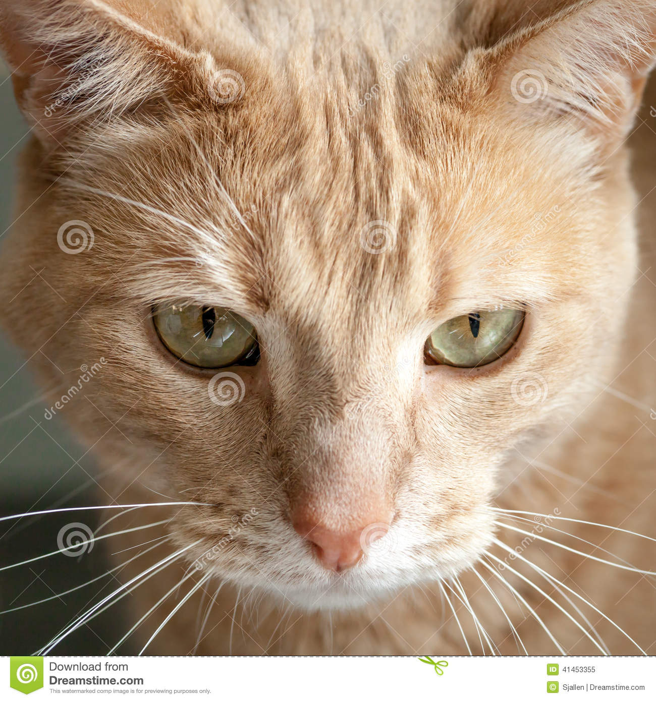 Head Of Ginger Tabby Cat With Green Yellow Eyes Stock Image Image Of Furry Pondering 41453355