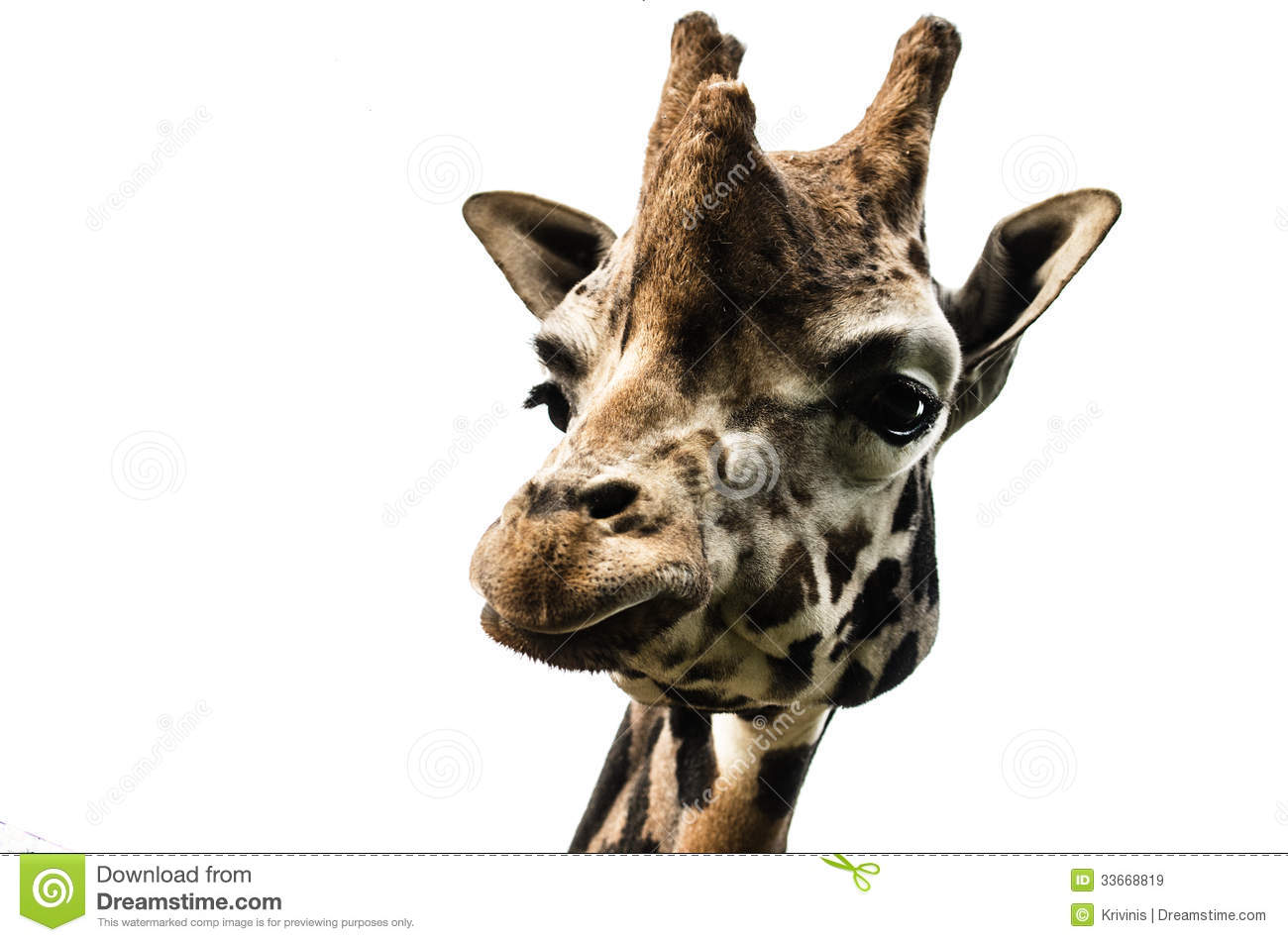 giraffe head white background - photo #14