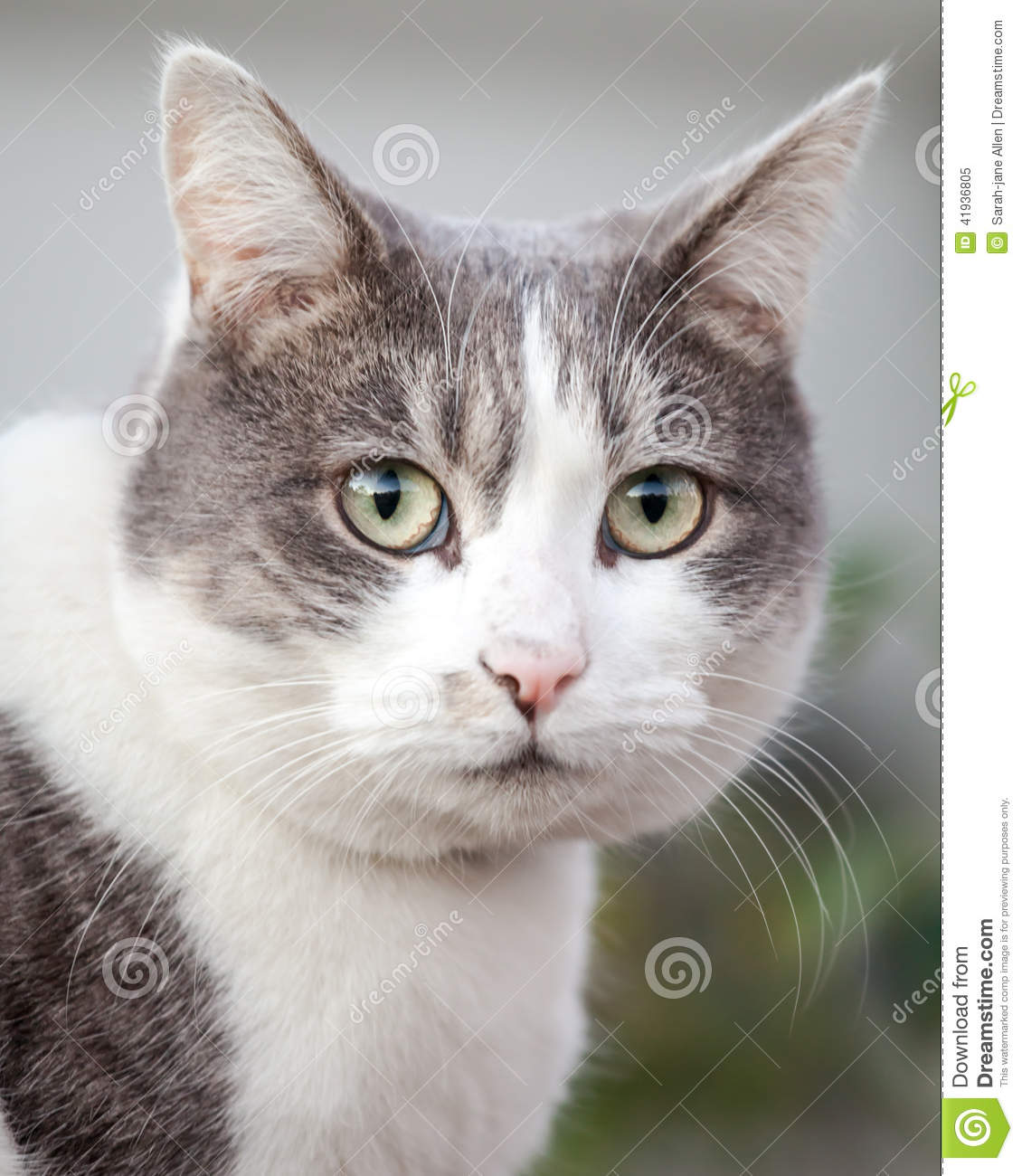 Head Of Grey And White Cat Looking Anxious And Stressed ... Gray And White Cat With Green Eyes