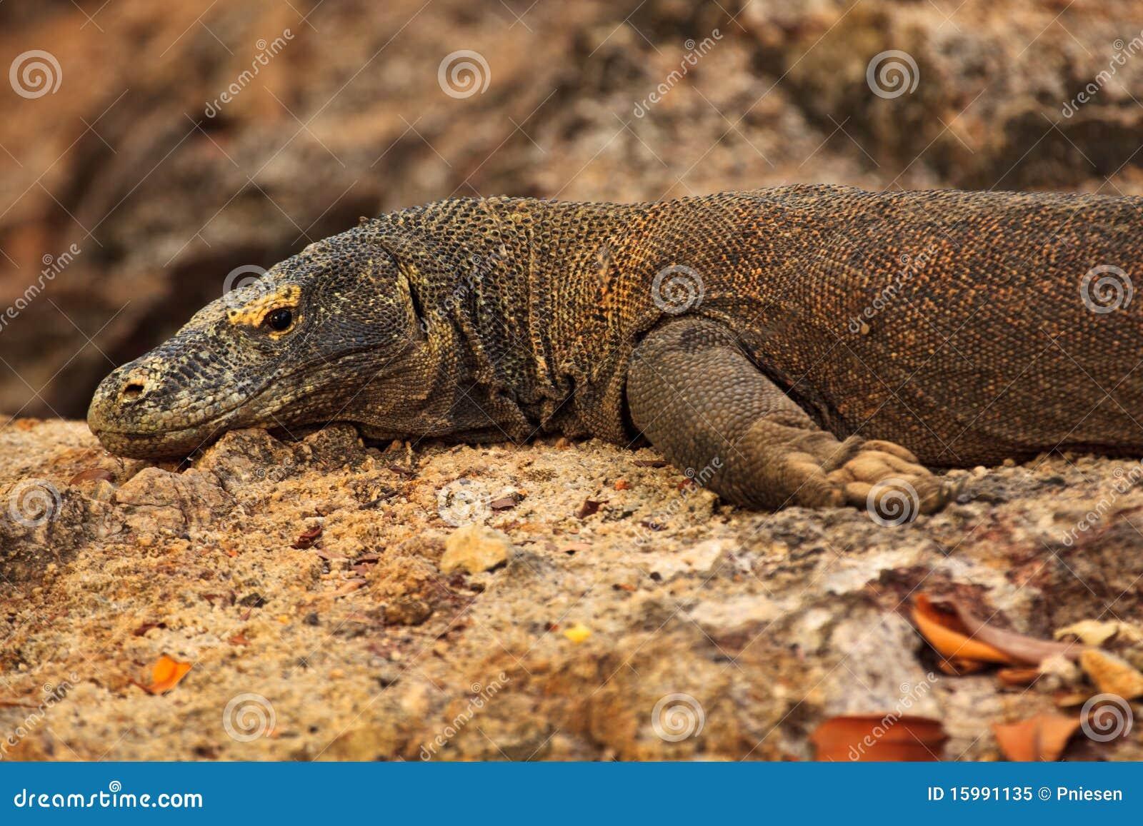 Head Leg Claws Of Komodo Dragon Indonesia Royalty Free