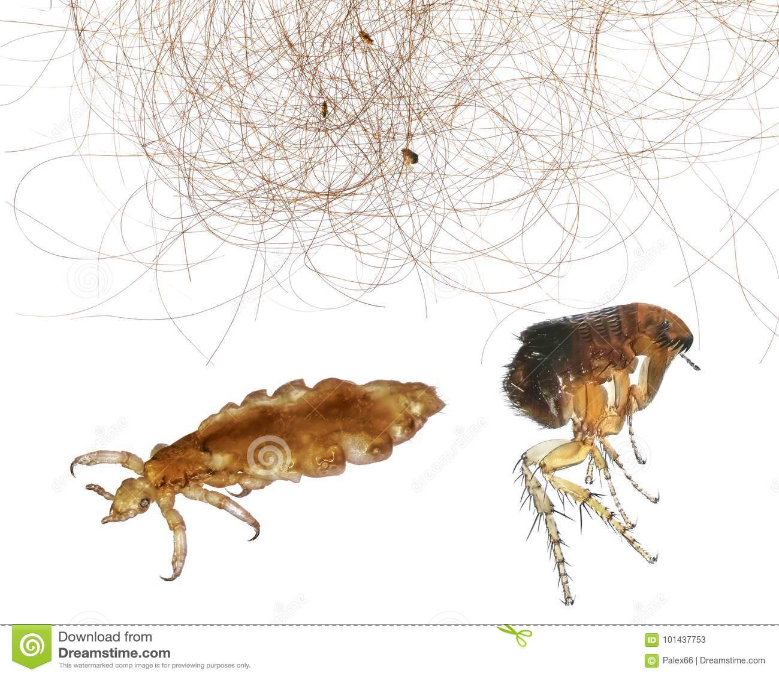 Flea Bites vs Lice - How Do You Tell Them Apart? |Flea Vs Lice