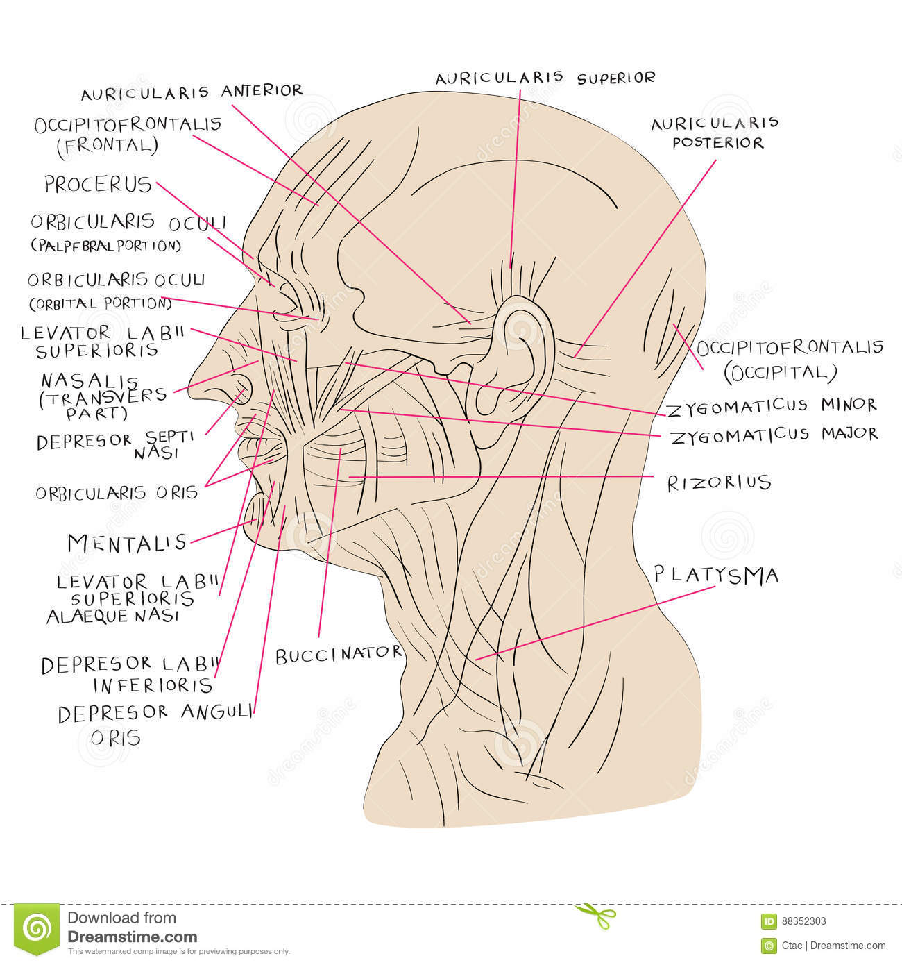 Head Muscles Lateral Color Stock Vector Illustration Of Nasalis