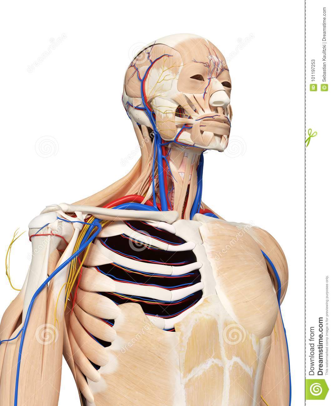 The head and neck anatomy stock illustration. Illustration of.