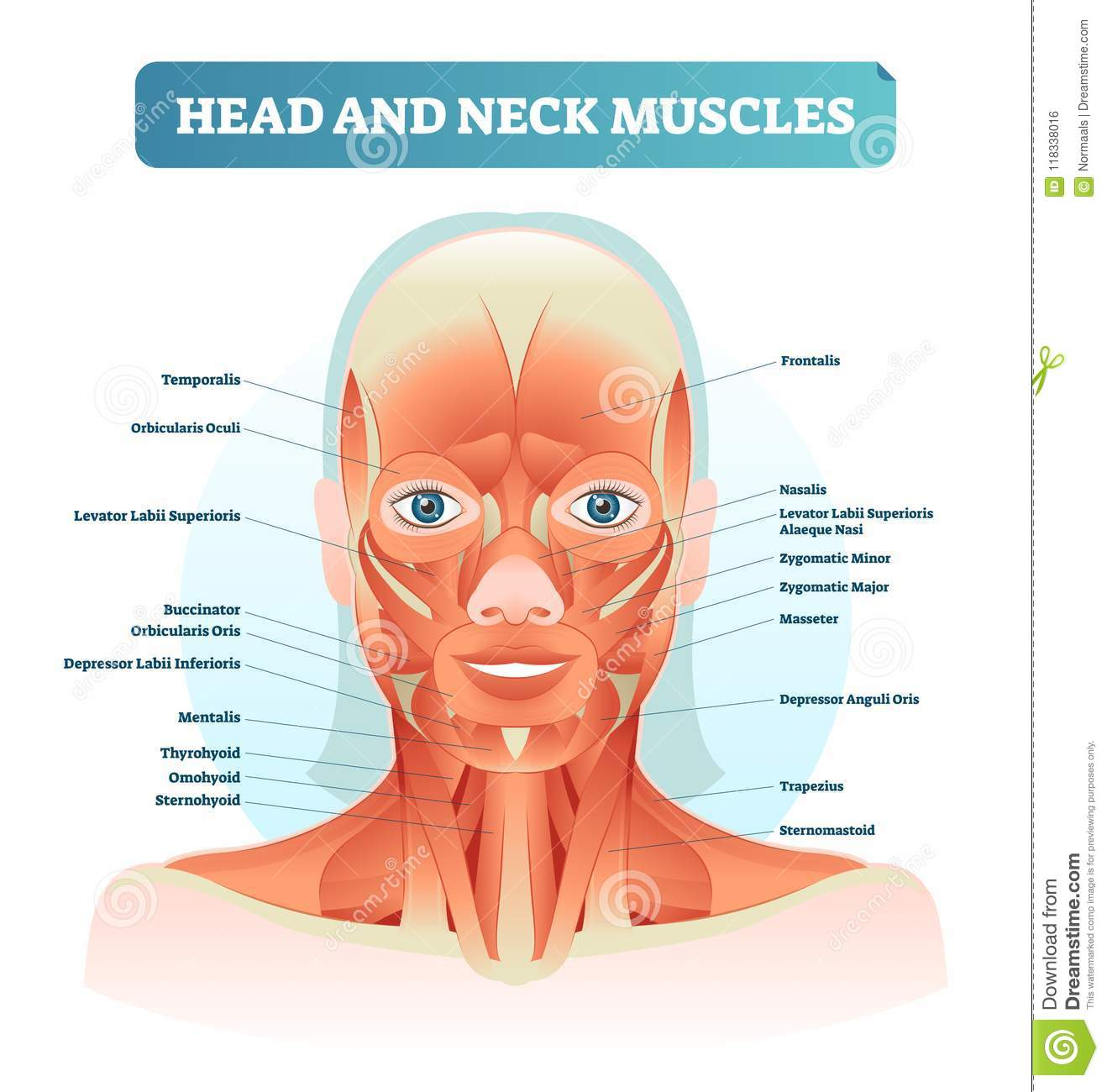 Head And Neck Muscles Labeled Anatomical Diagram, Facial Vector ...