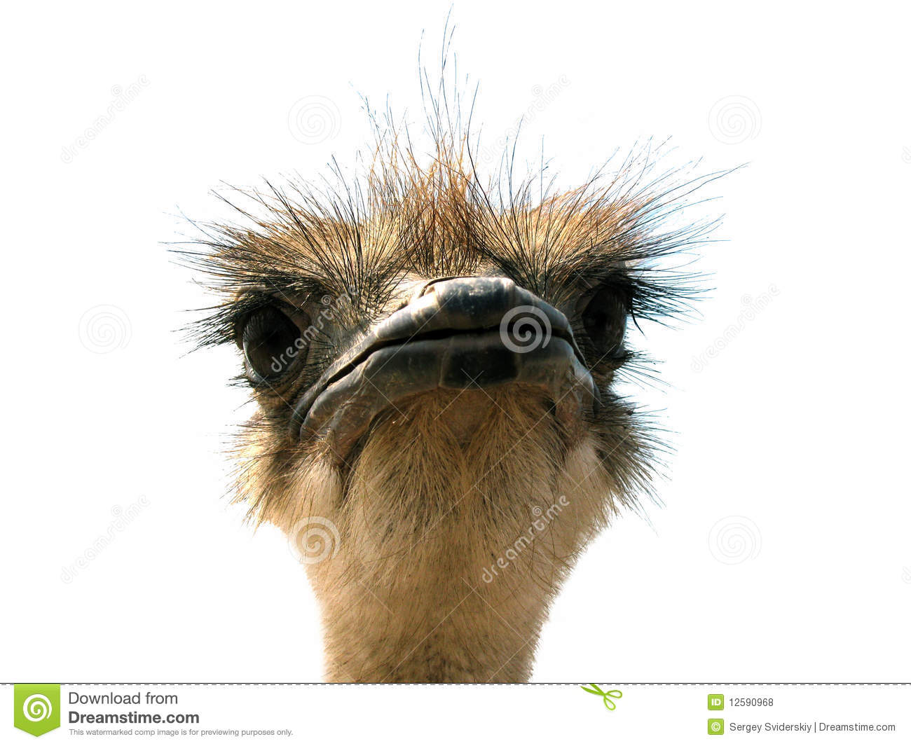 Head Of Ostrich On A White Background Stock Photo Image