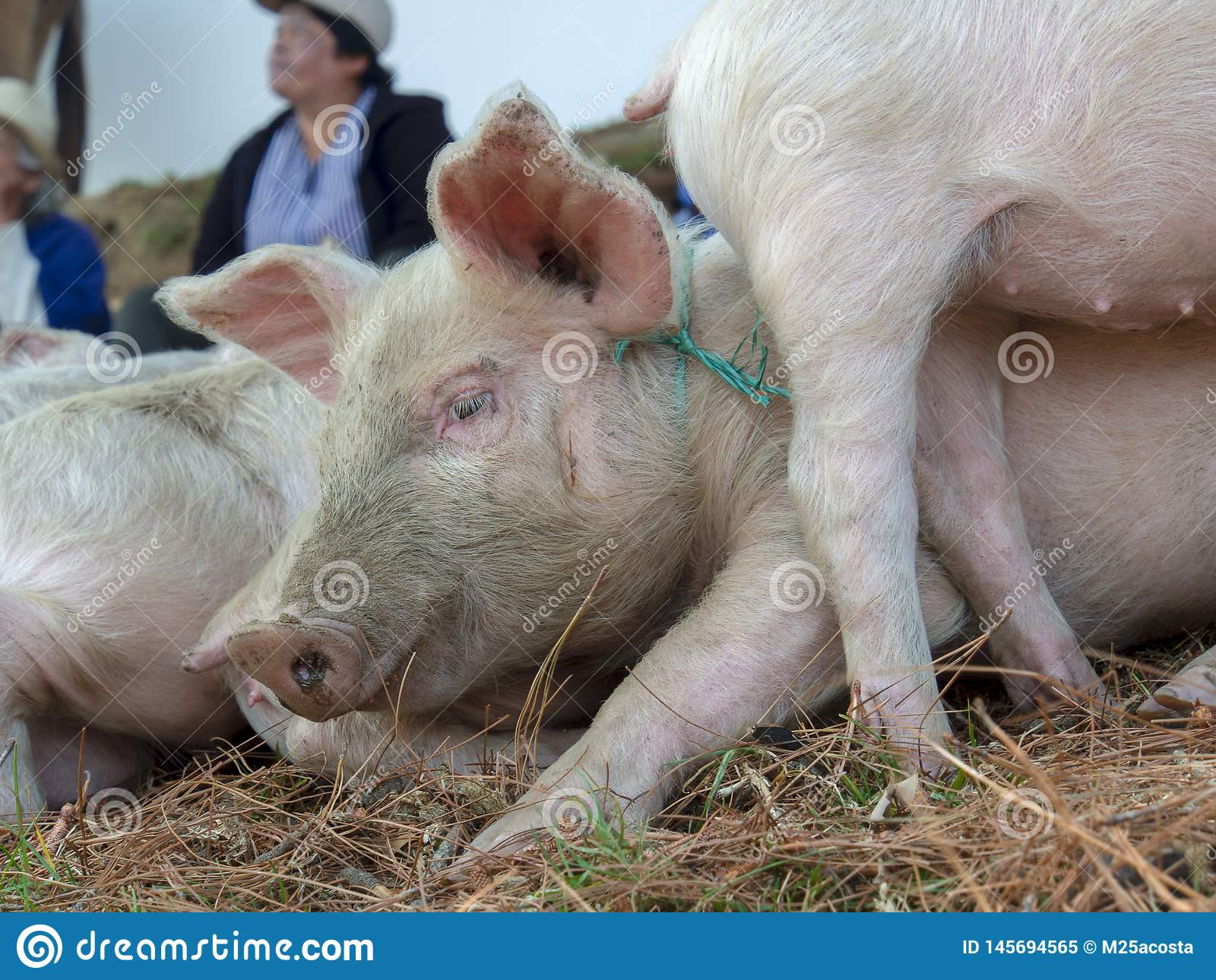 Head of a piglet in a market