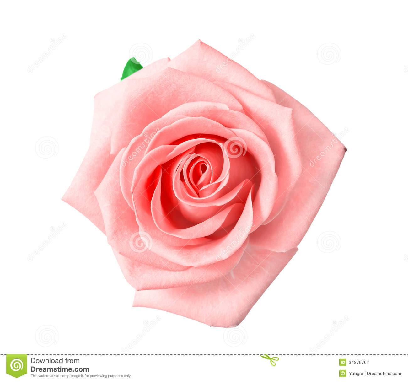 Head Of Pink Rose Royalty Free Stock Photography - Image: 34879707